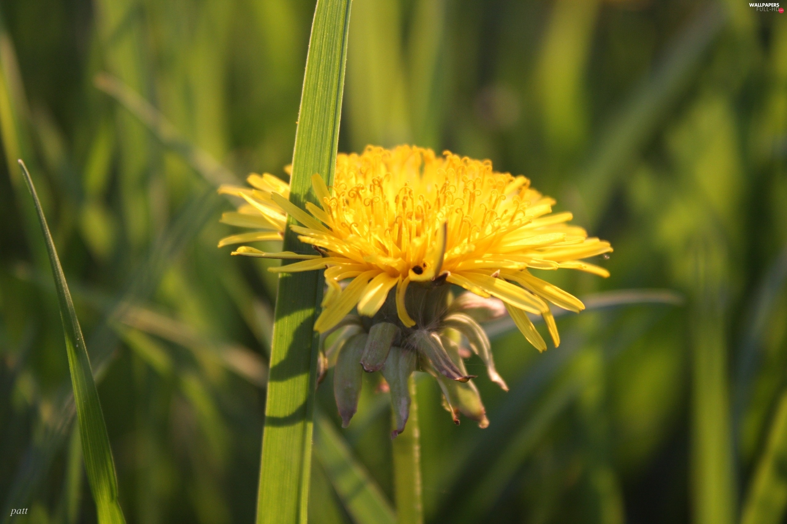 dandelion, grass, Yellow, Colourfull Flowers