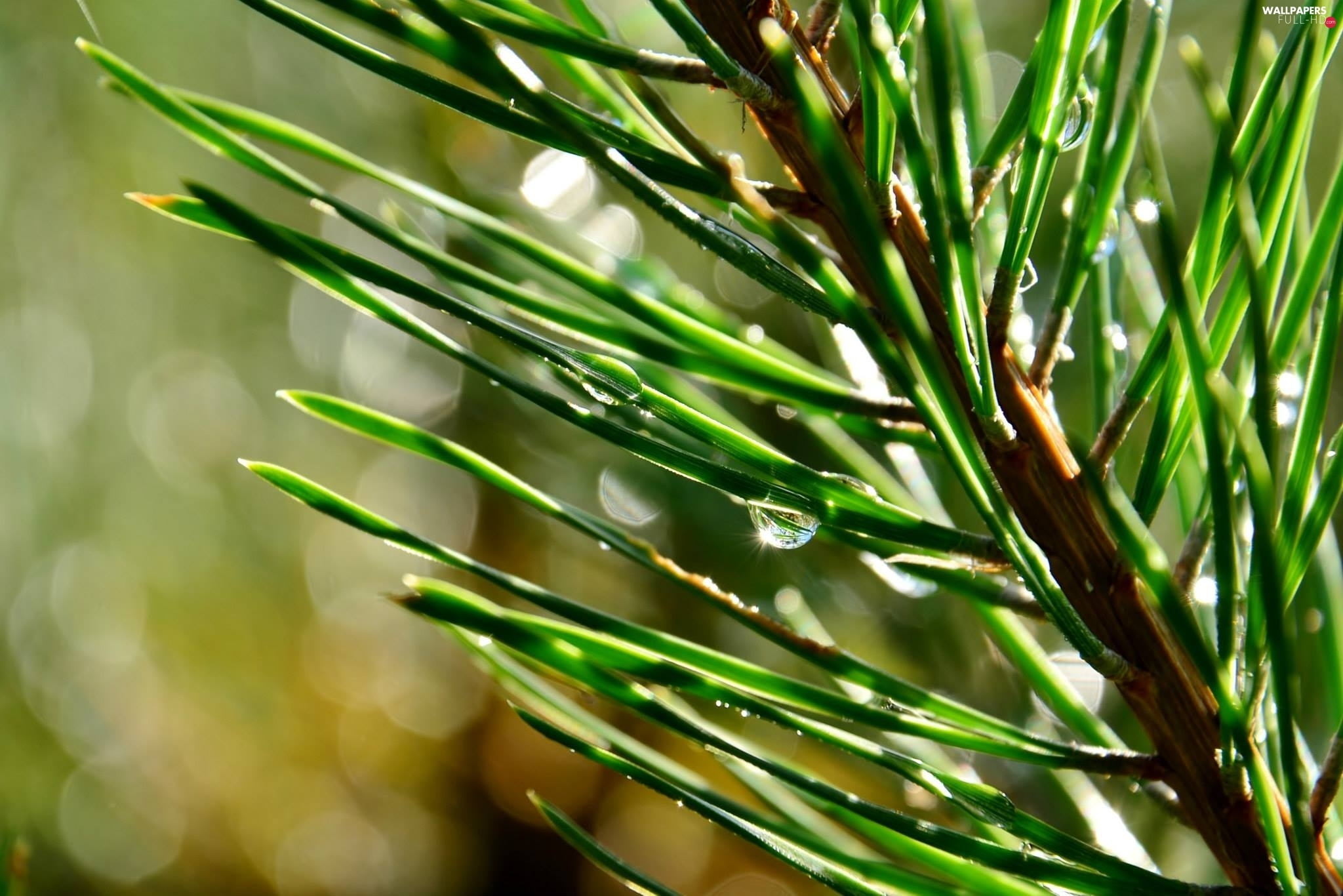 drops, spruce