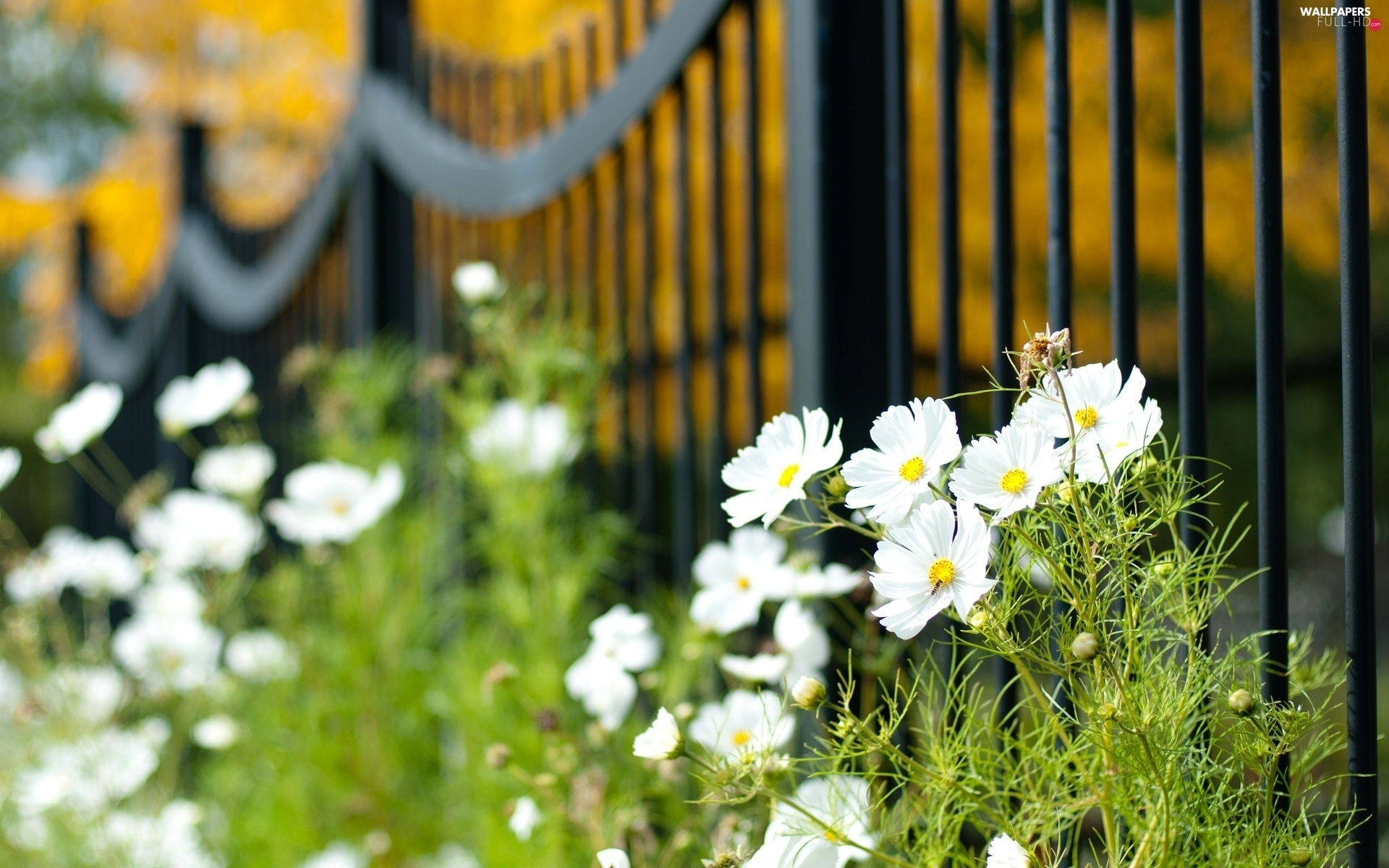 Cosmos, fence, White