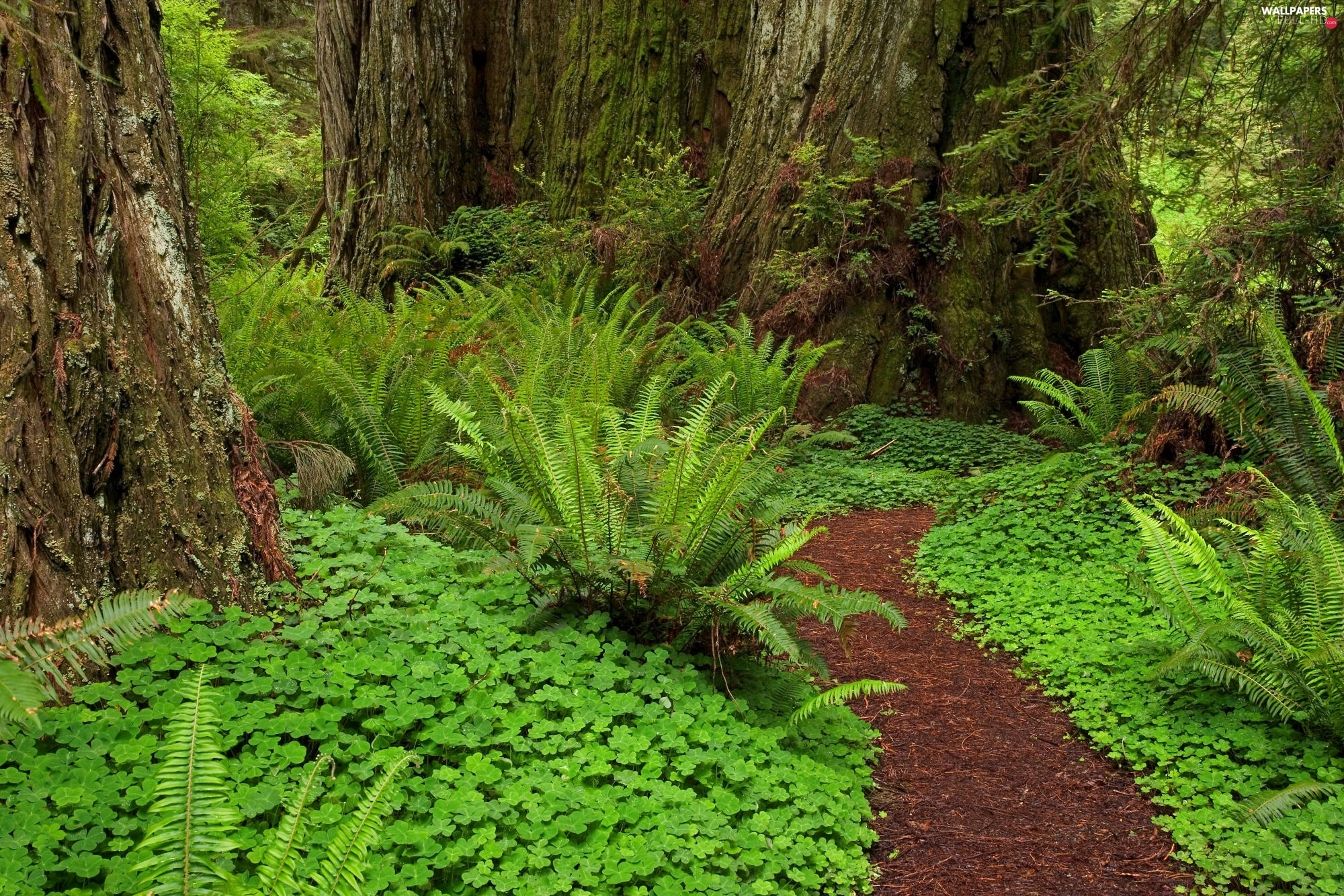 Path, fern, forest