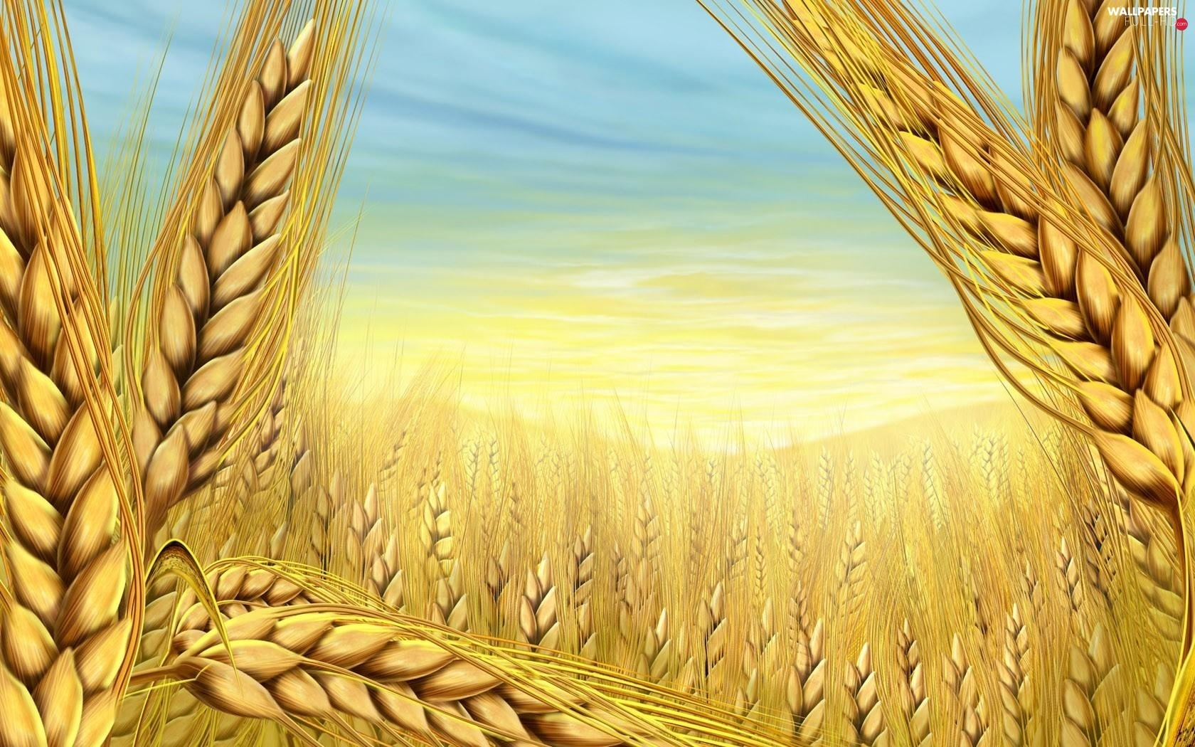 Field, cereals, wheat, Ears