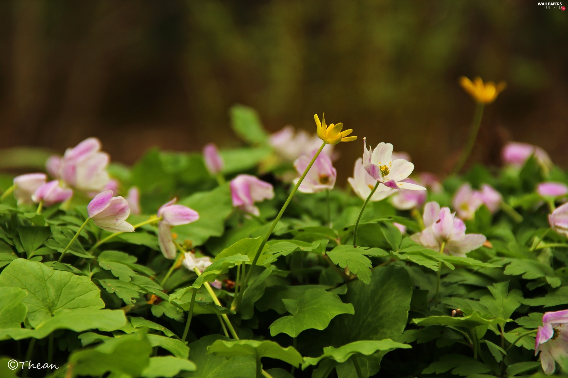 fig buttercup, Yellow, Pink, Anemones