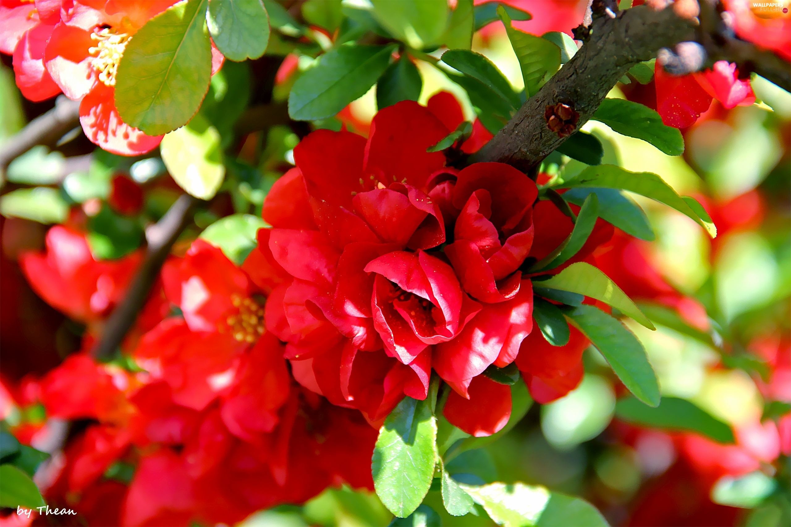Flowers, Red, Blossoming, quince