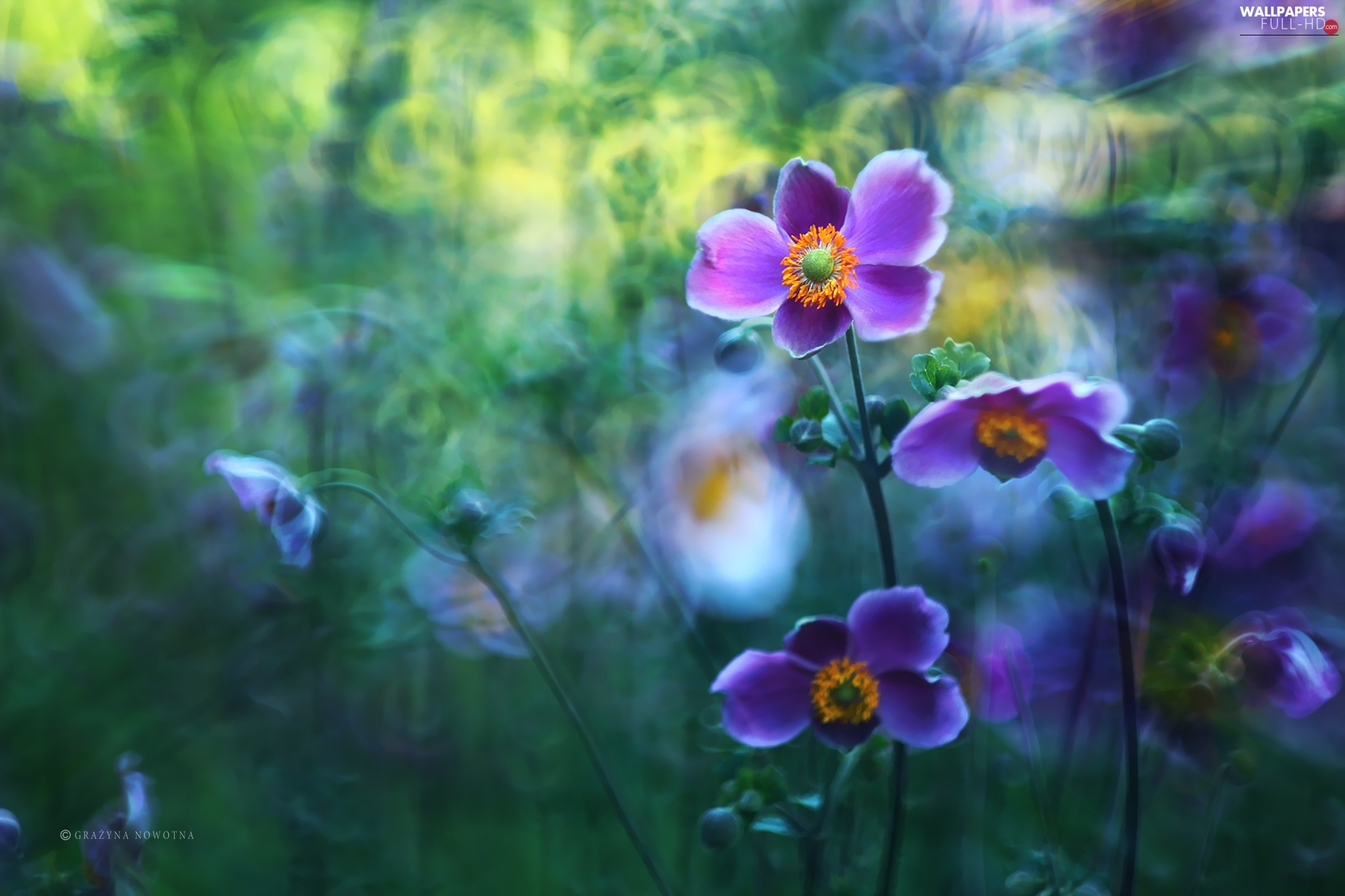 Flowers, purple, Japanese anemone