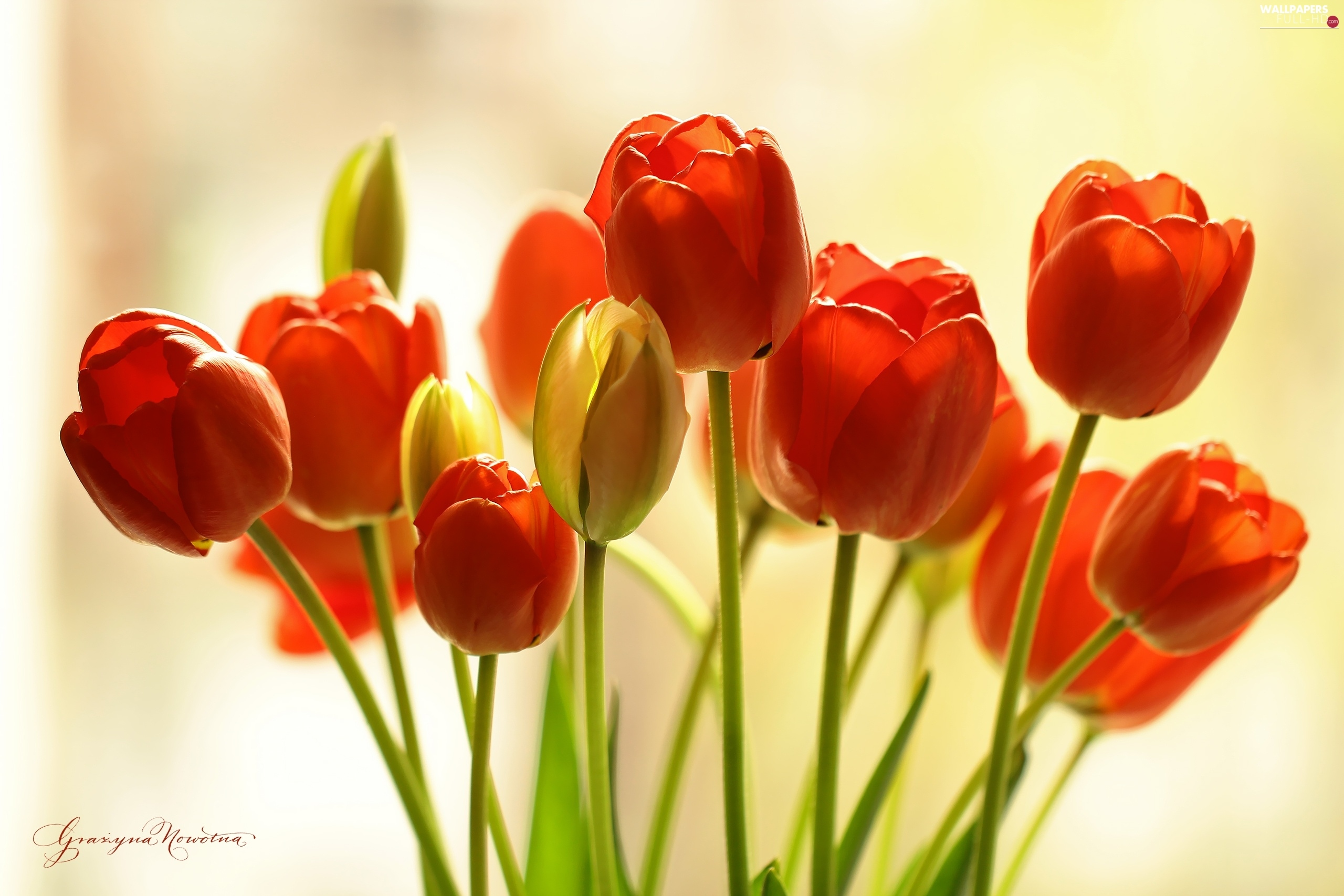 Tulips, Flowers, Red