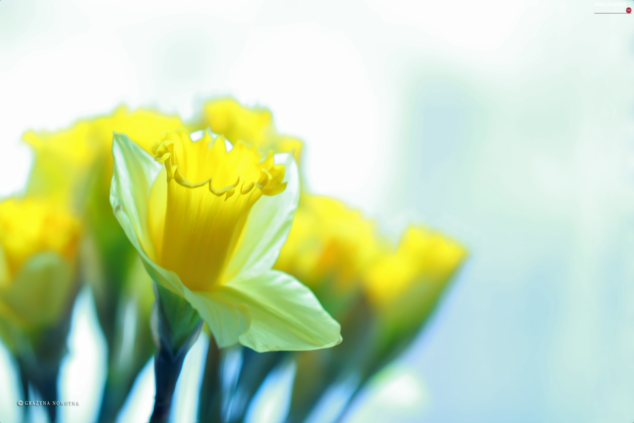 Yellow, Flowers, Daffodils