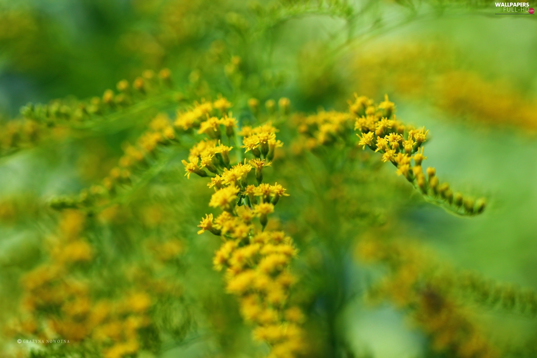 Yellow, Flowers, Goldenrod