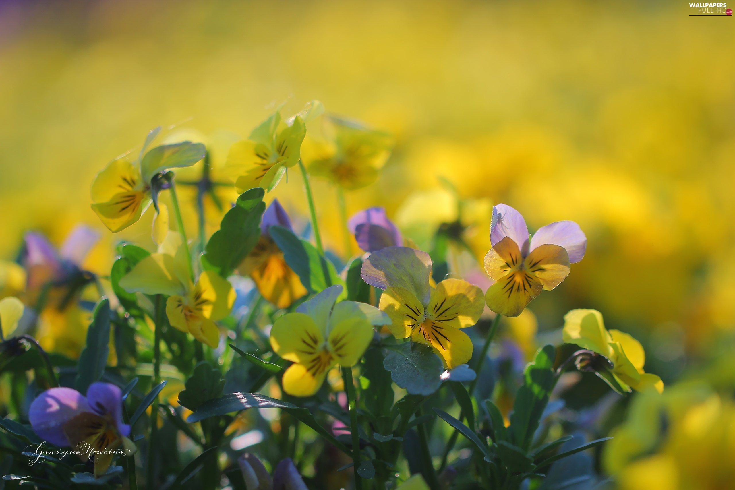 Flowers, pansies, Yellow, purple