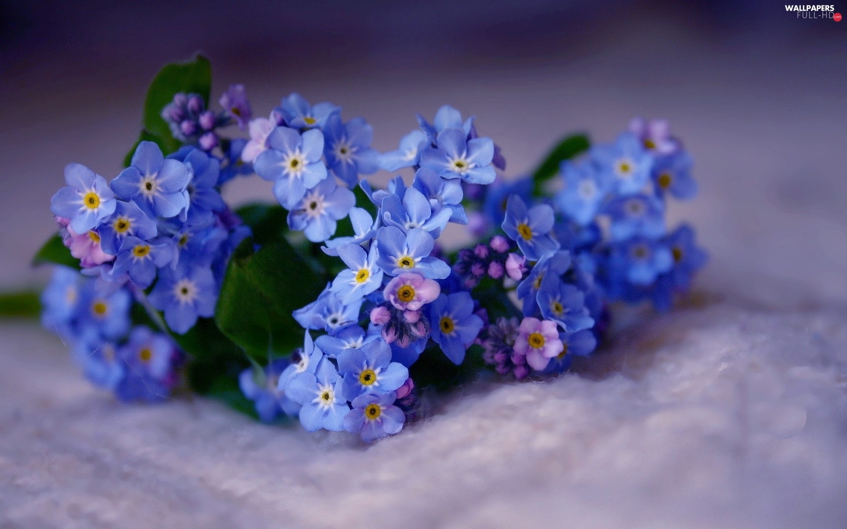forget-me-not, small bunch