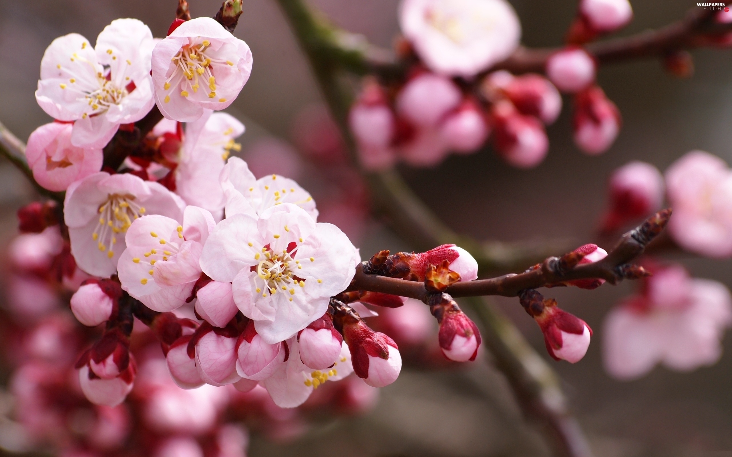 fruit, trees, Pink, Flowers