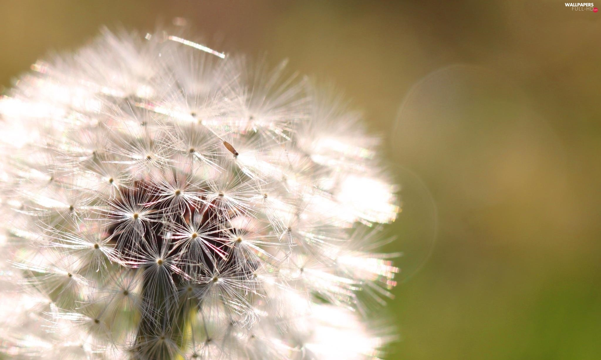 green ones, background, Common Dandelion