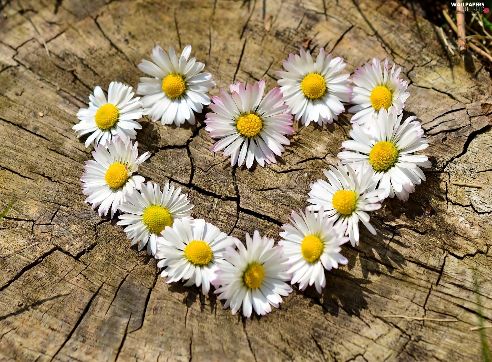 Heart, daisies, Close, Flowers