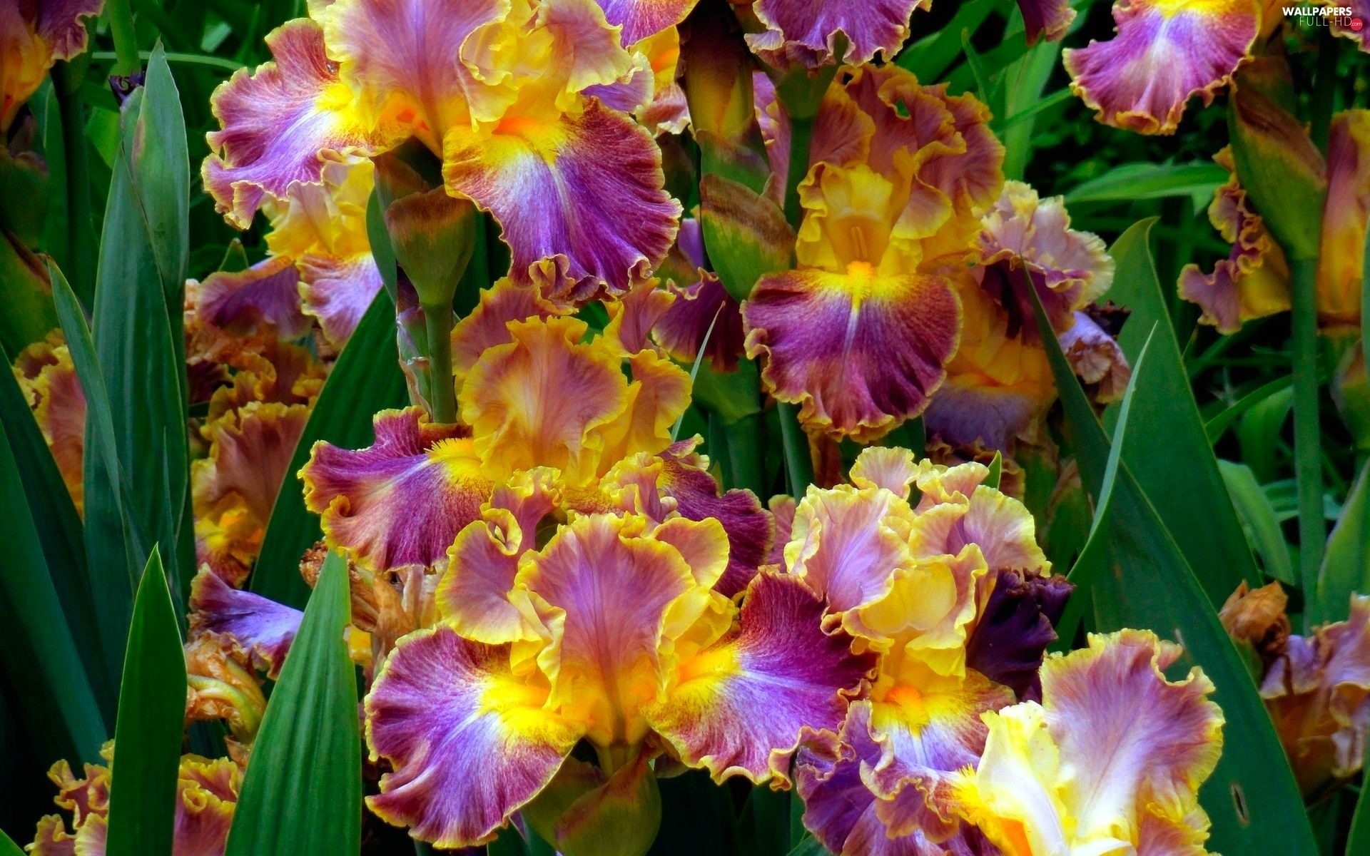 Irises, color
