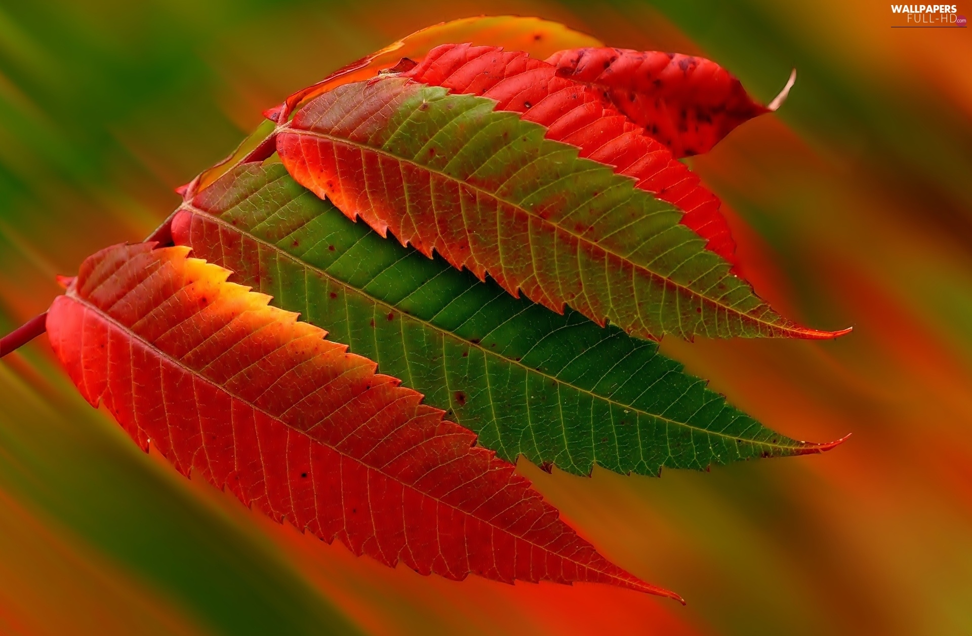 color, Leaf, autumn