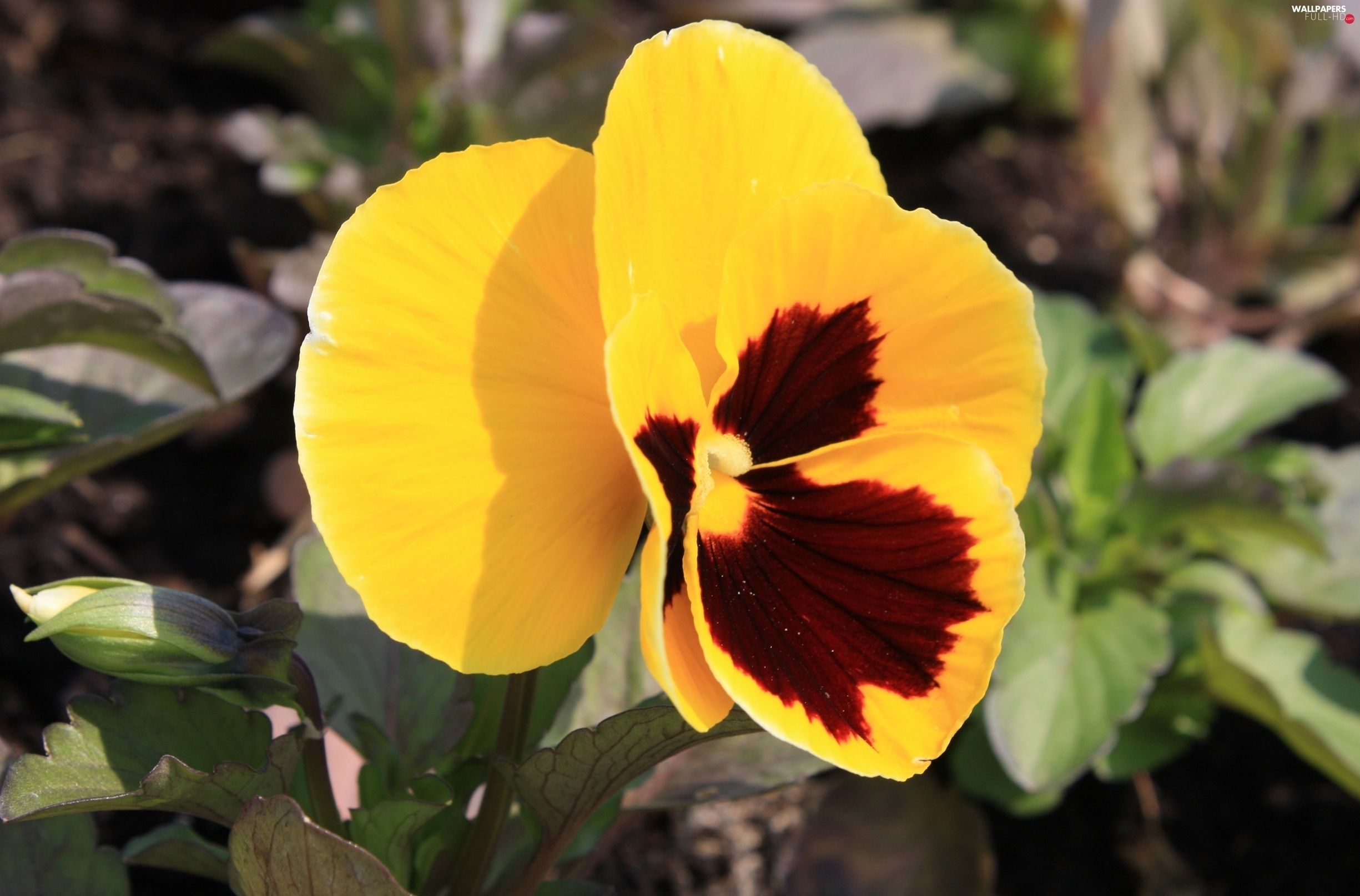 pansy, Leaf, Yellow