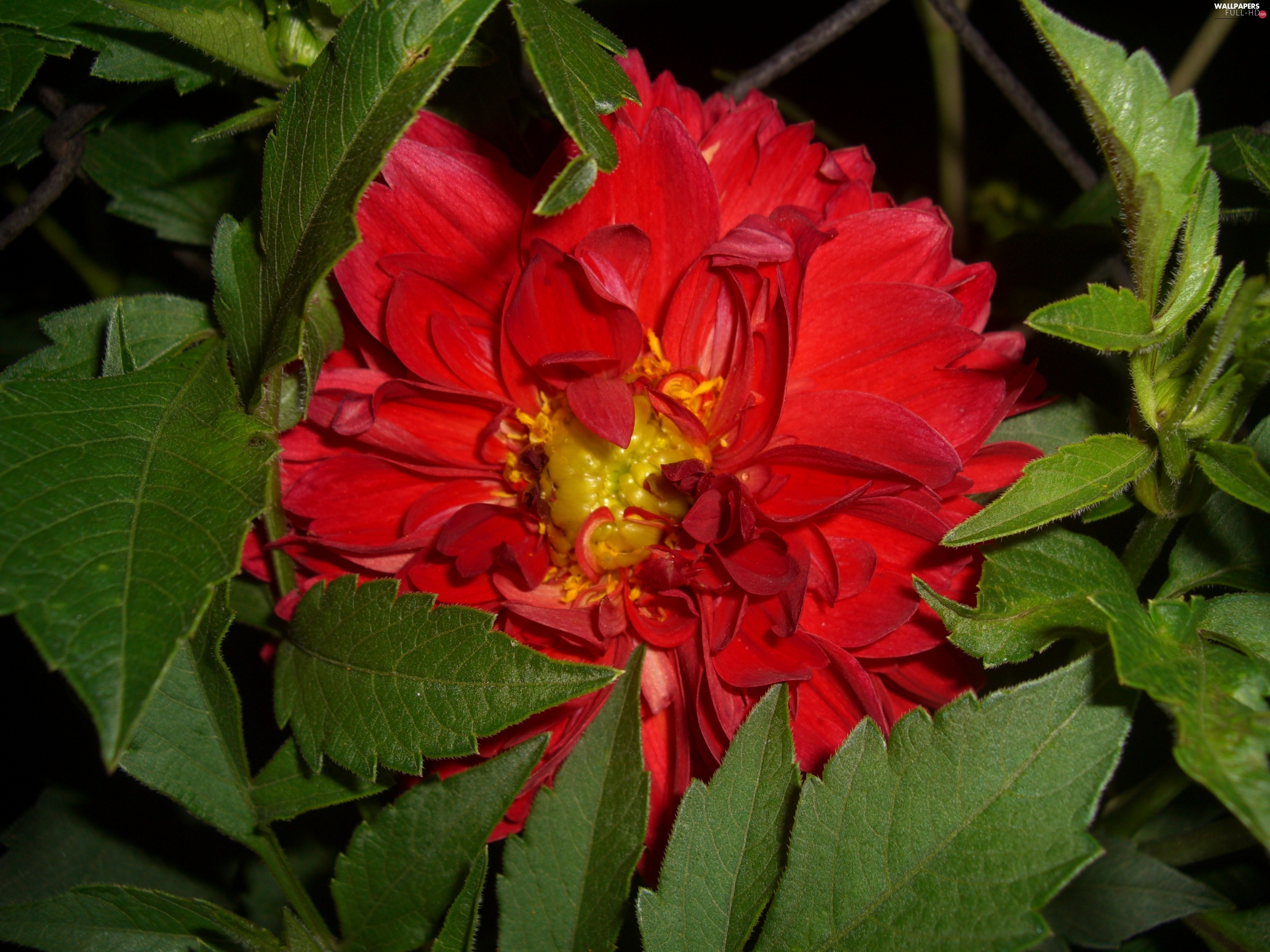 leaves, Colourfull Flowers, Dalia, Red