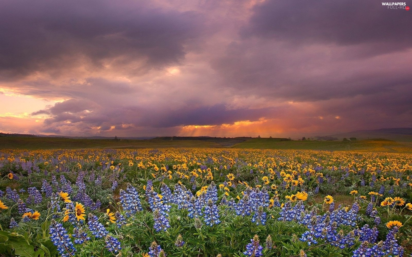 lupine, Nice sunflowers, west, sun