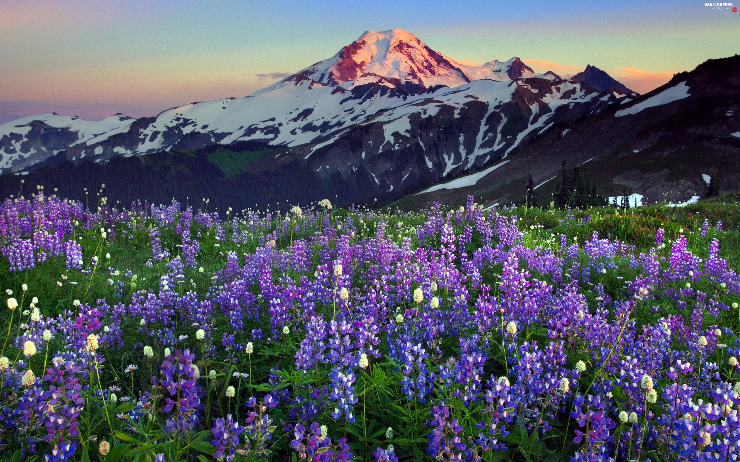 lupins, Mountains, west, sun