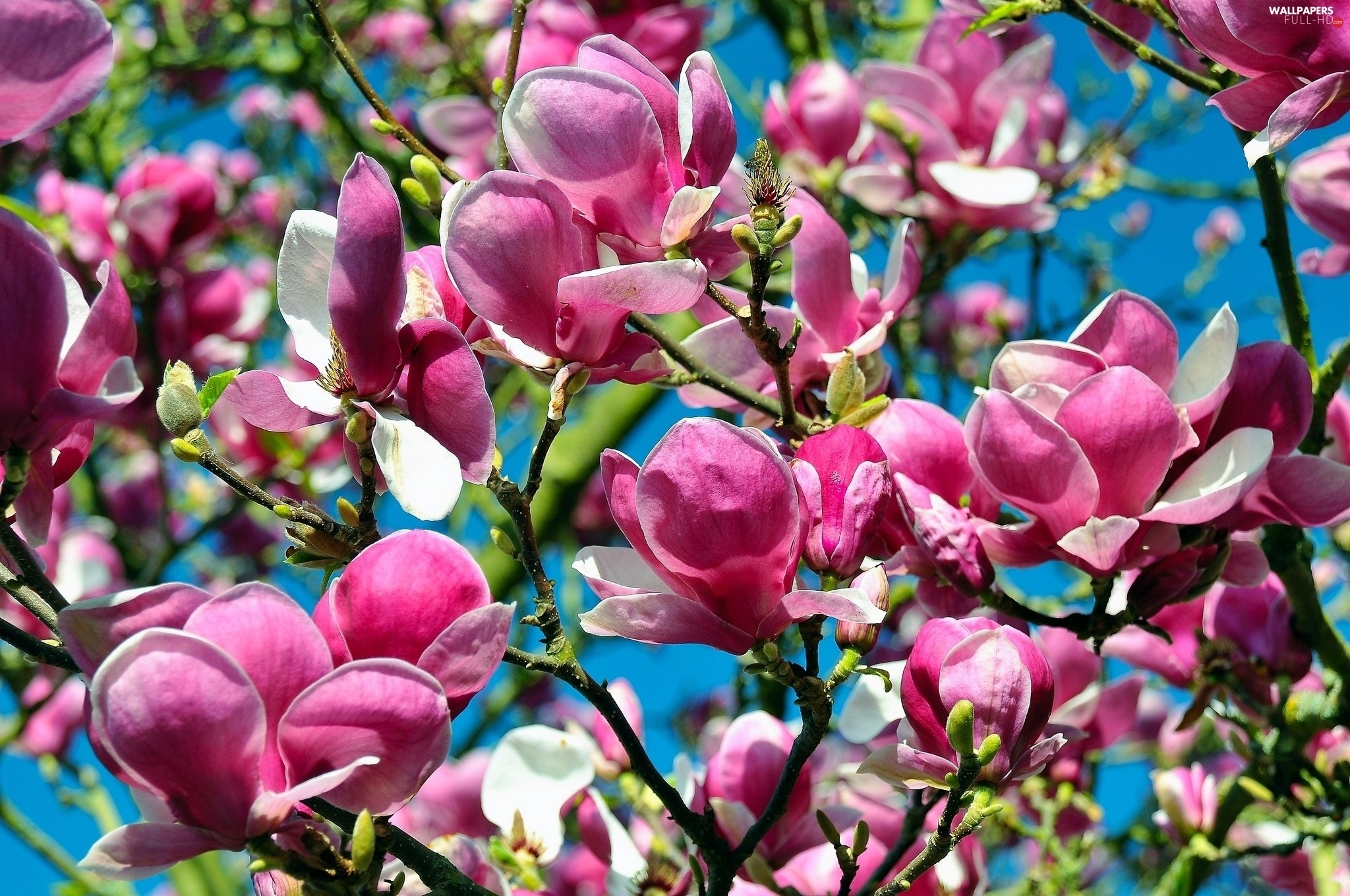 Magnolii, viewes, Flowers, trees