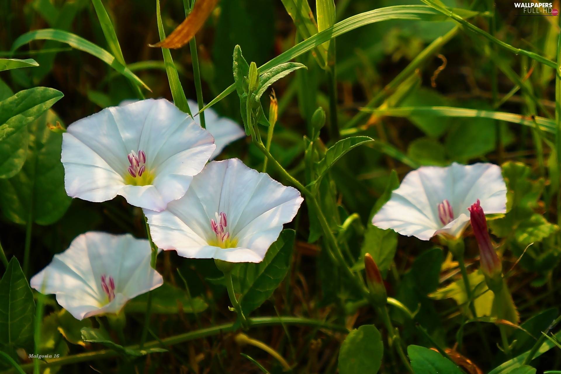 bindweed, Meadow, Flowers