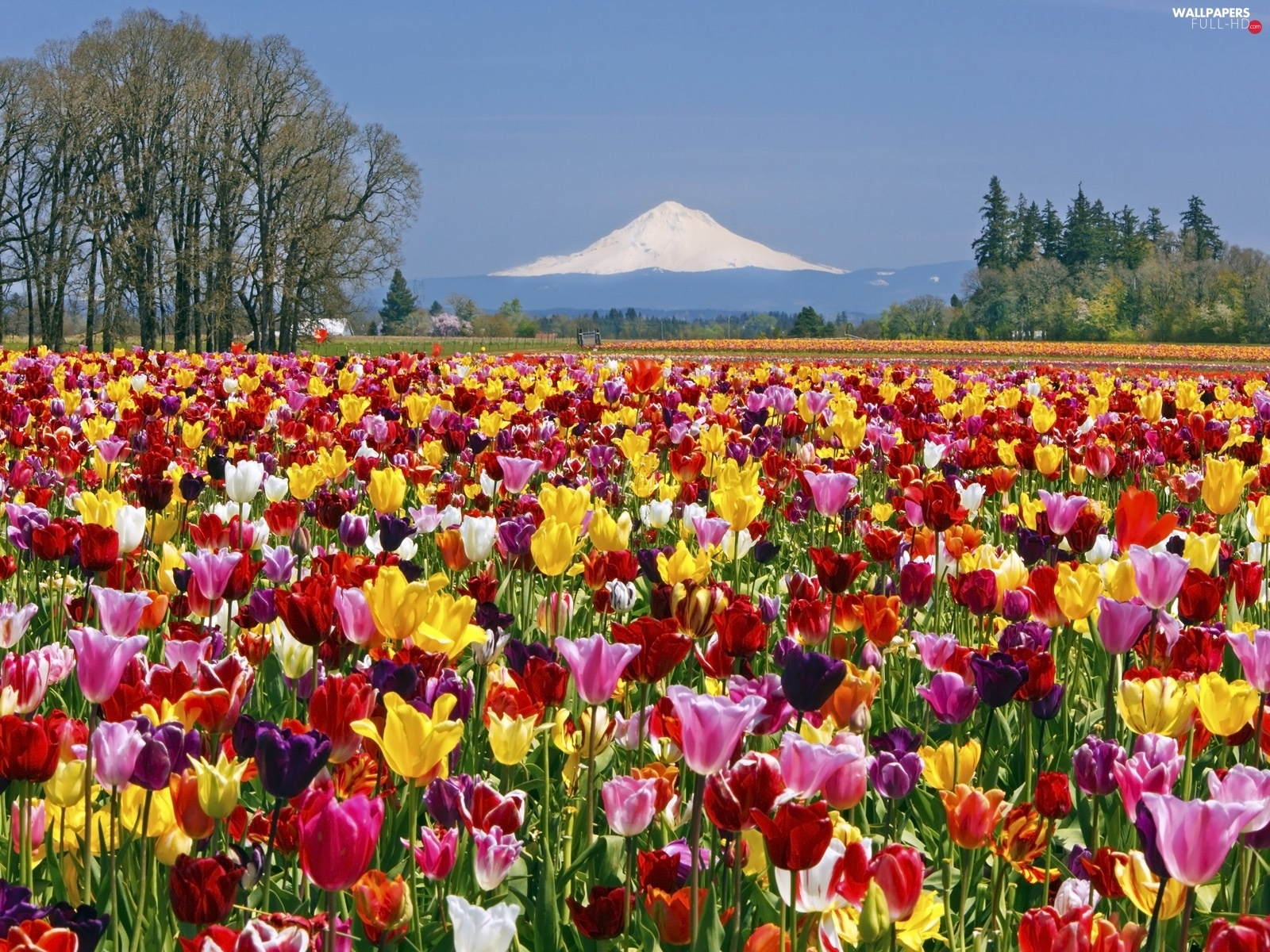 Tulips, mountains, Field