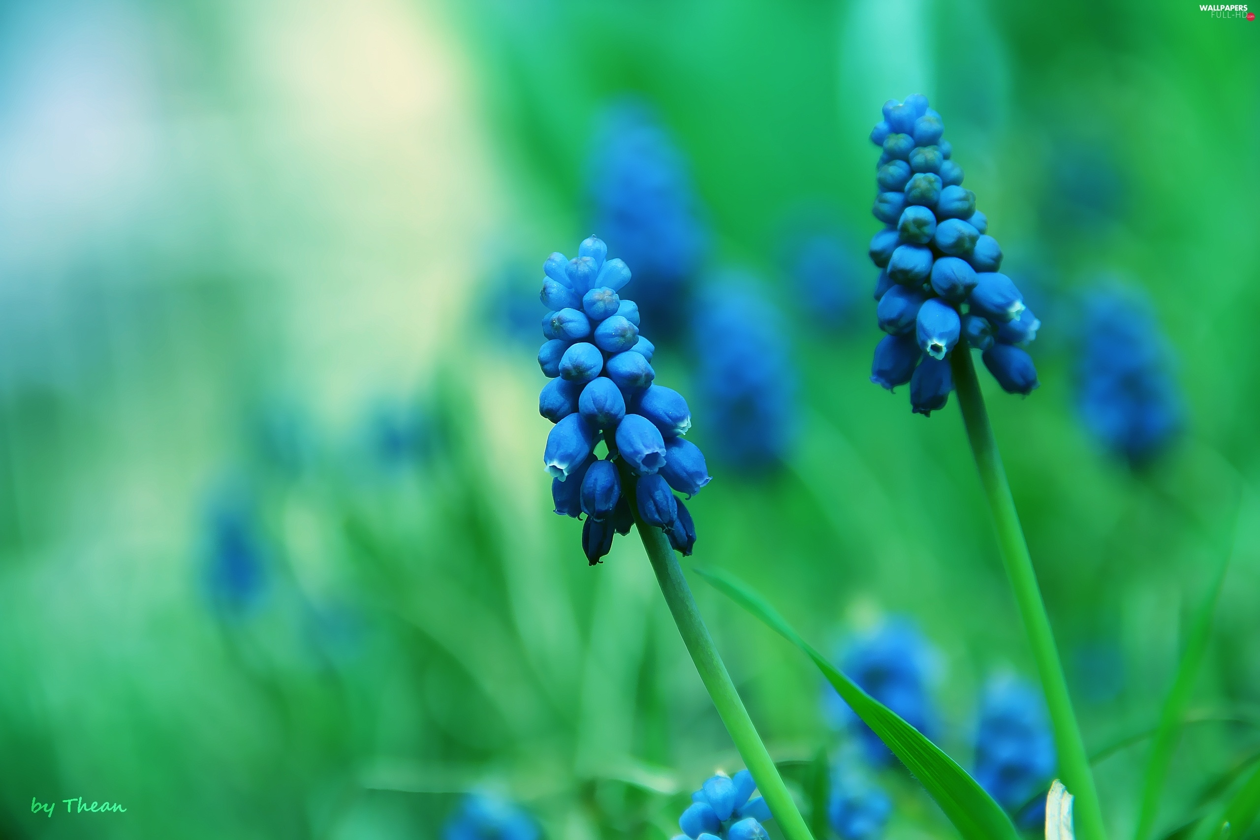 bells, Muscari, Flowers
