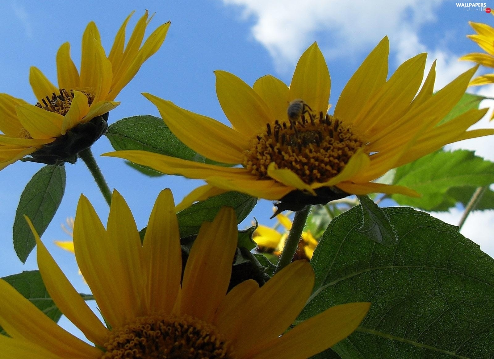 Insect, Nice sunflowers