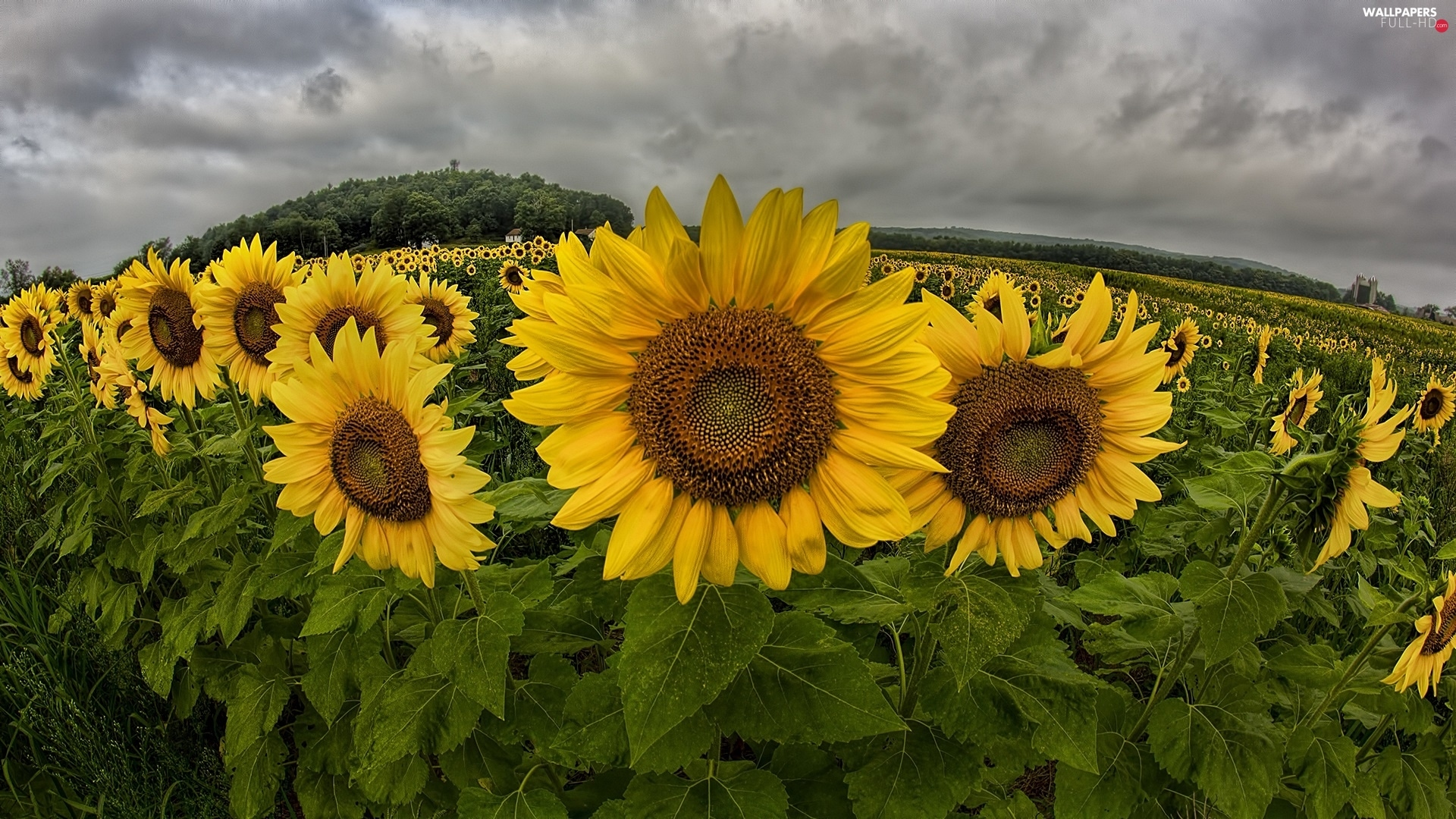 panorama, clouds, Field, sunflowers