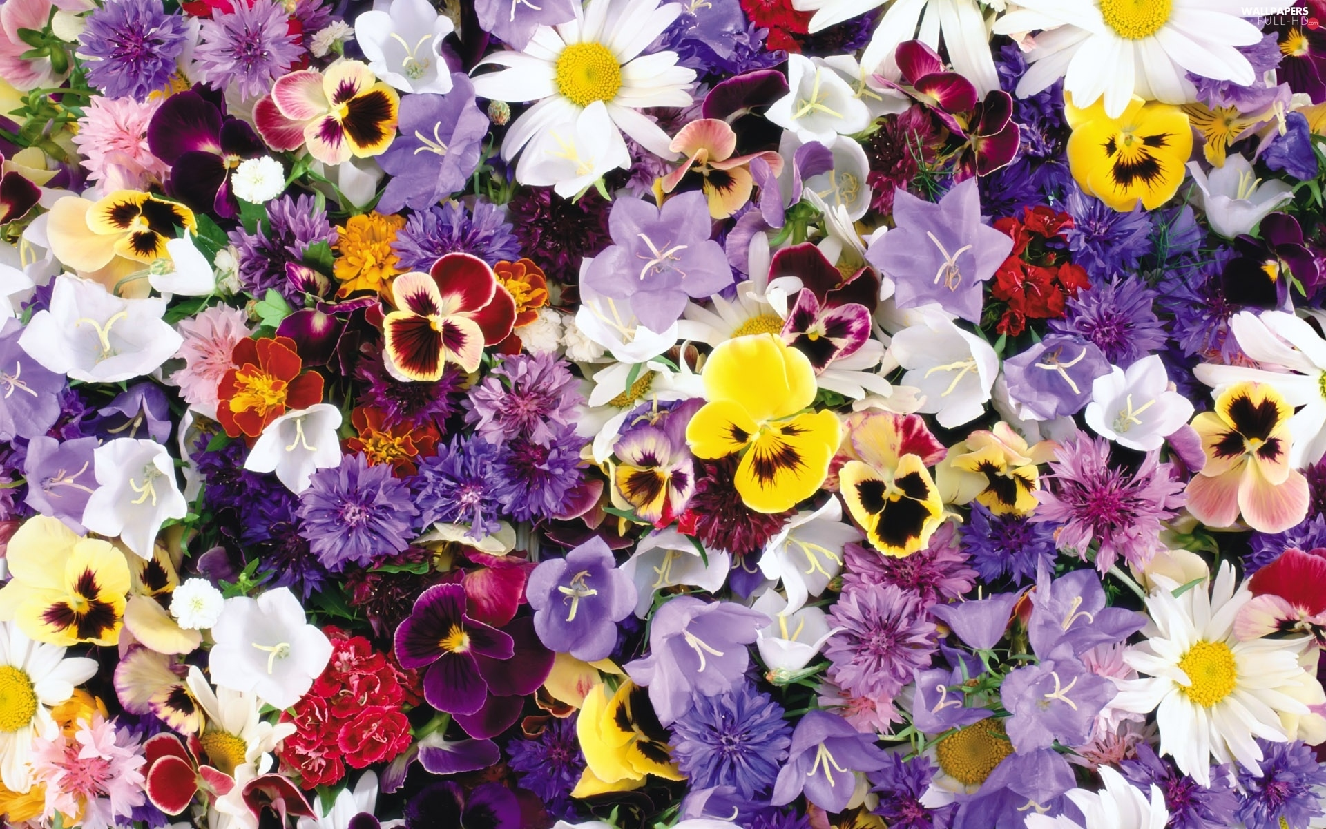 pansies, Flowers, different, color