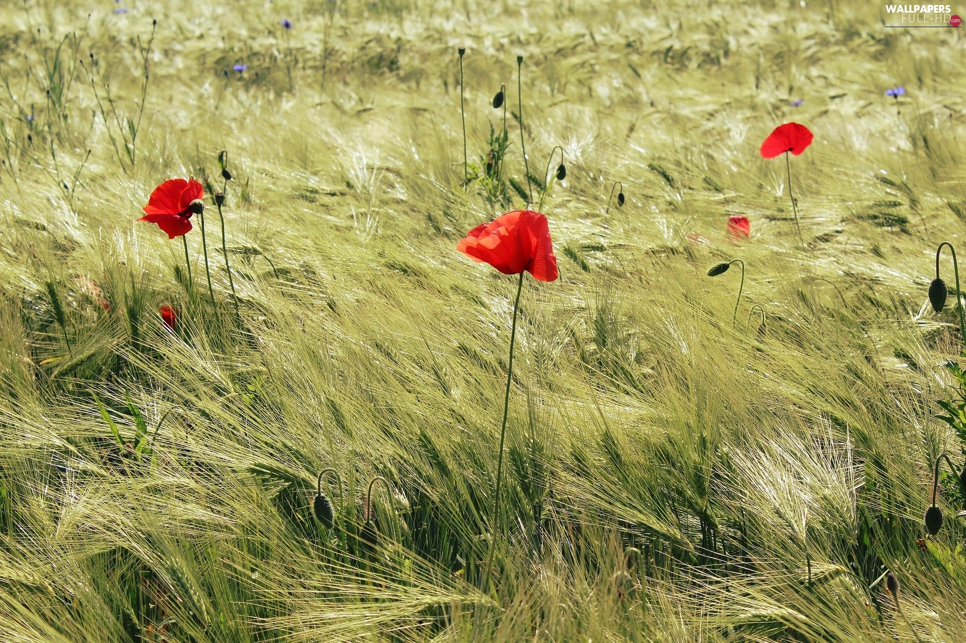 papavers, Red, Field, summer, cereals