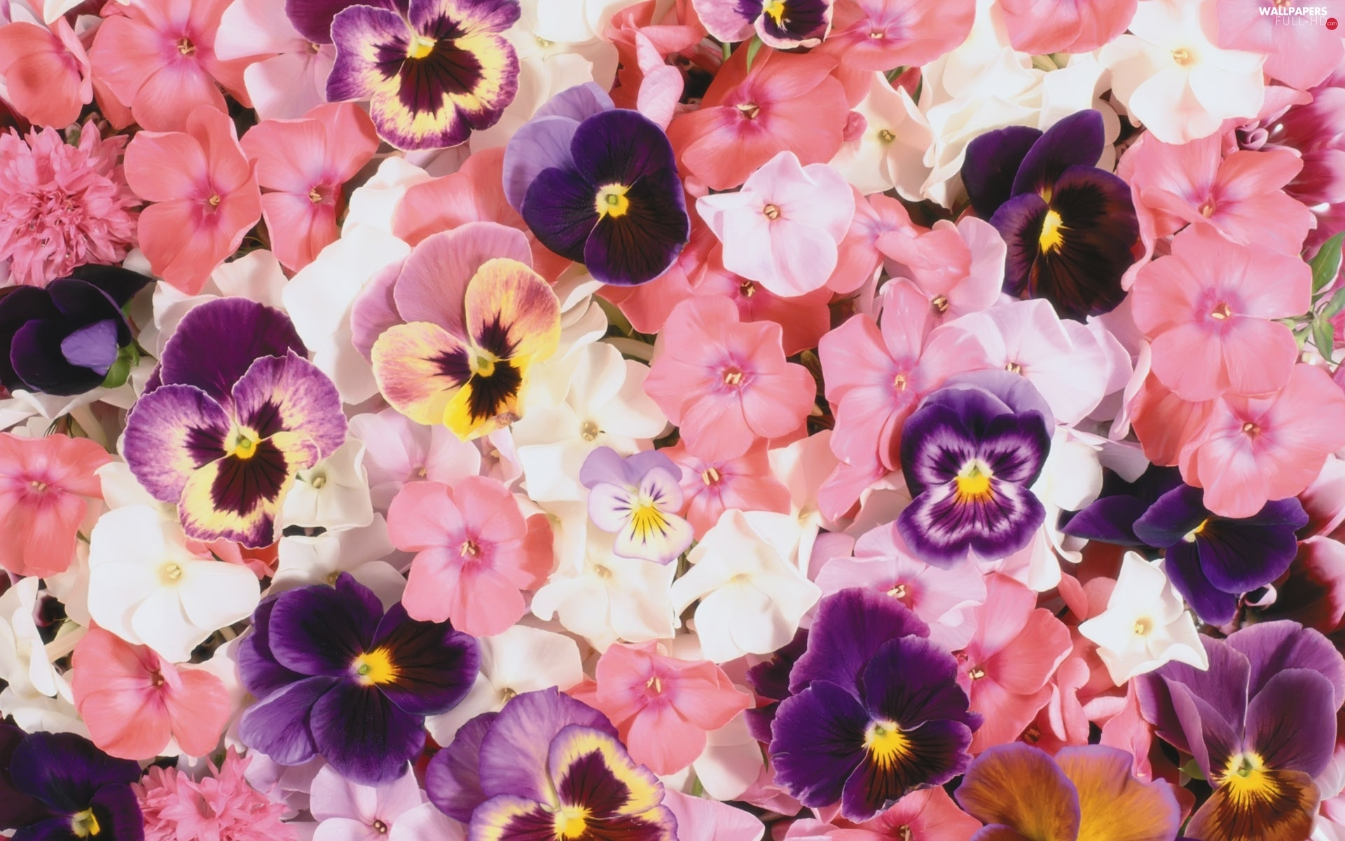 phlox, pansies, color, Flowers