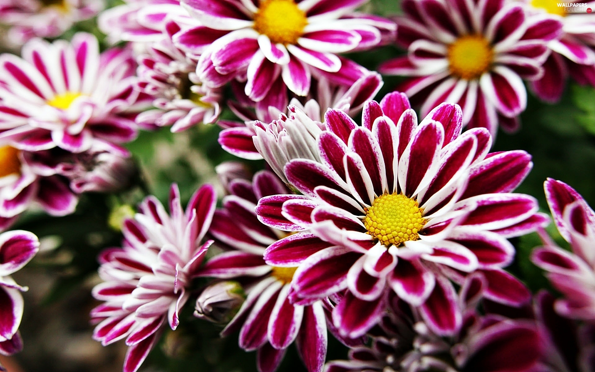 Chrysanthemums, Pink, beatyfull