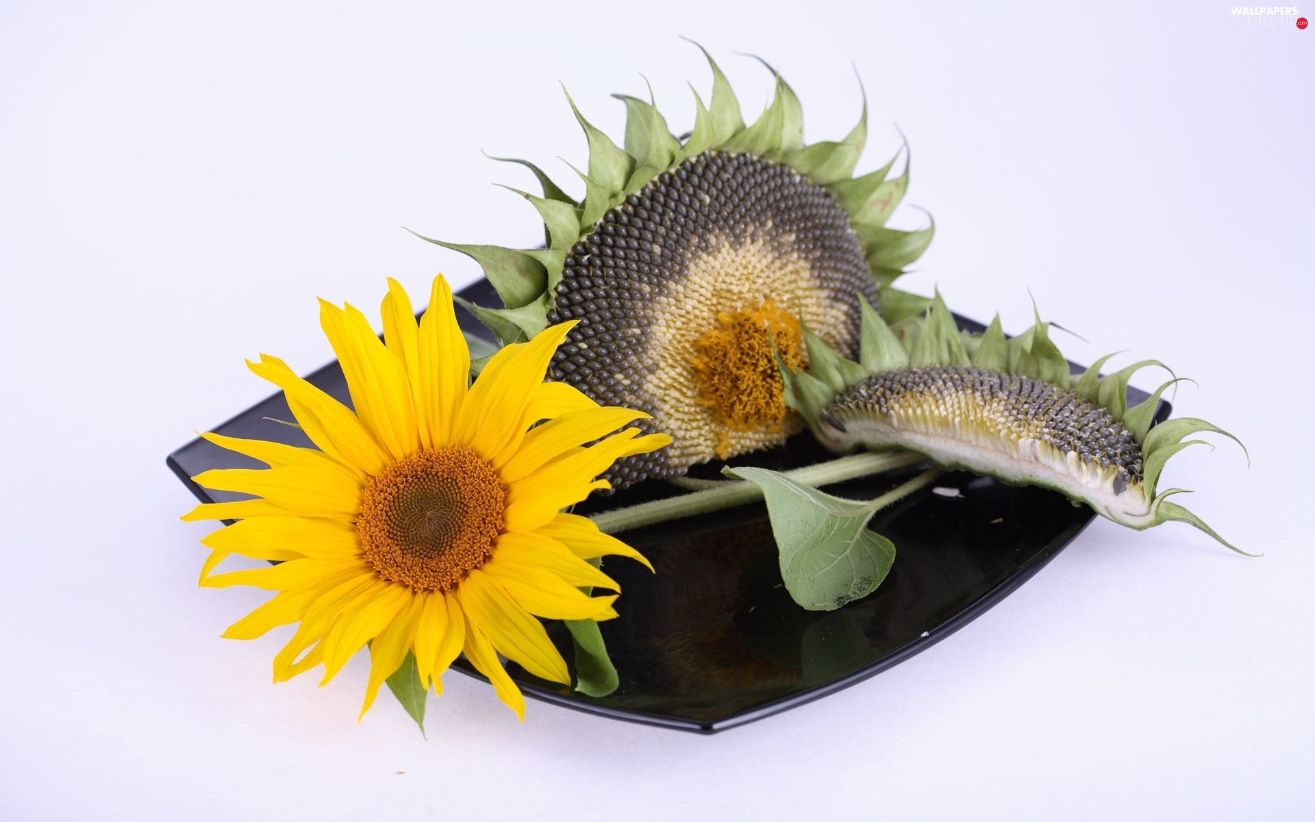 plate, mature, Sunflower, Colourfull Flowers