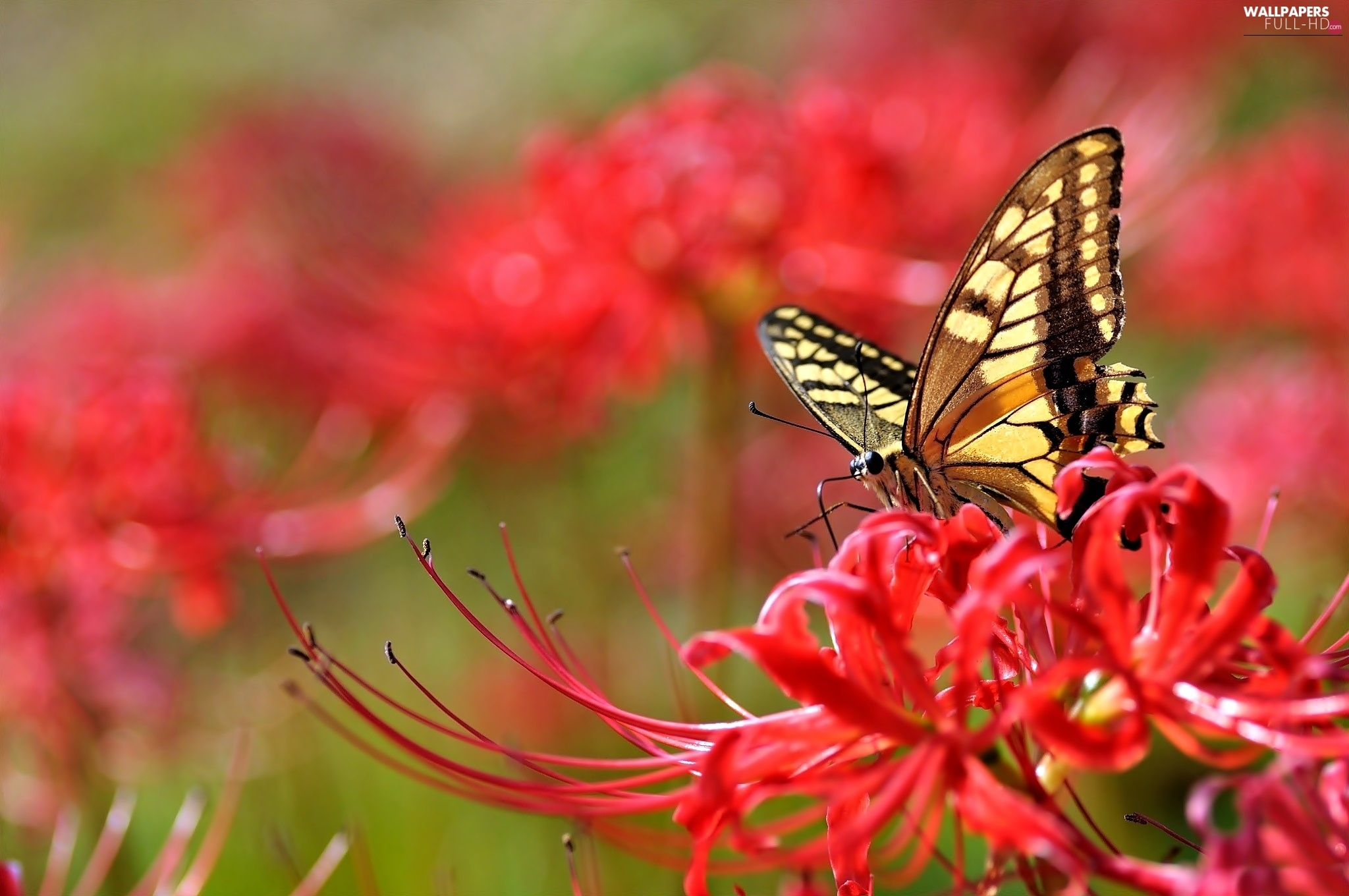 Red, Colourfull Flowers, butterfly
