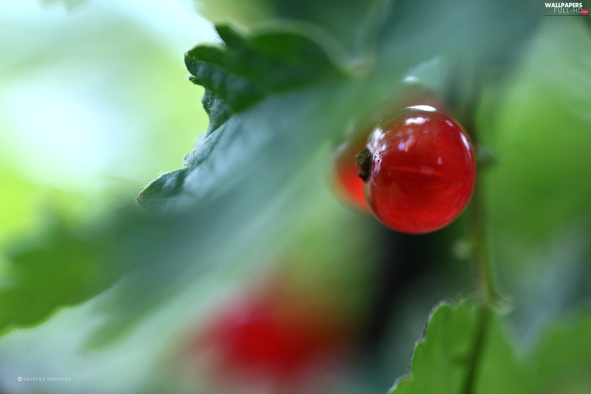 fruit, Red Currant