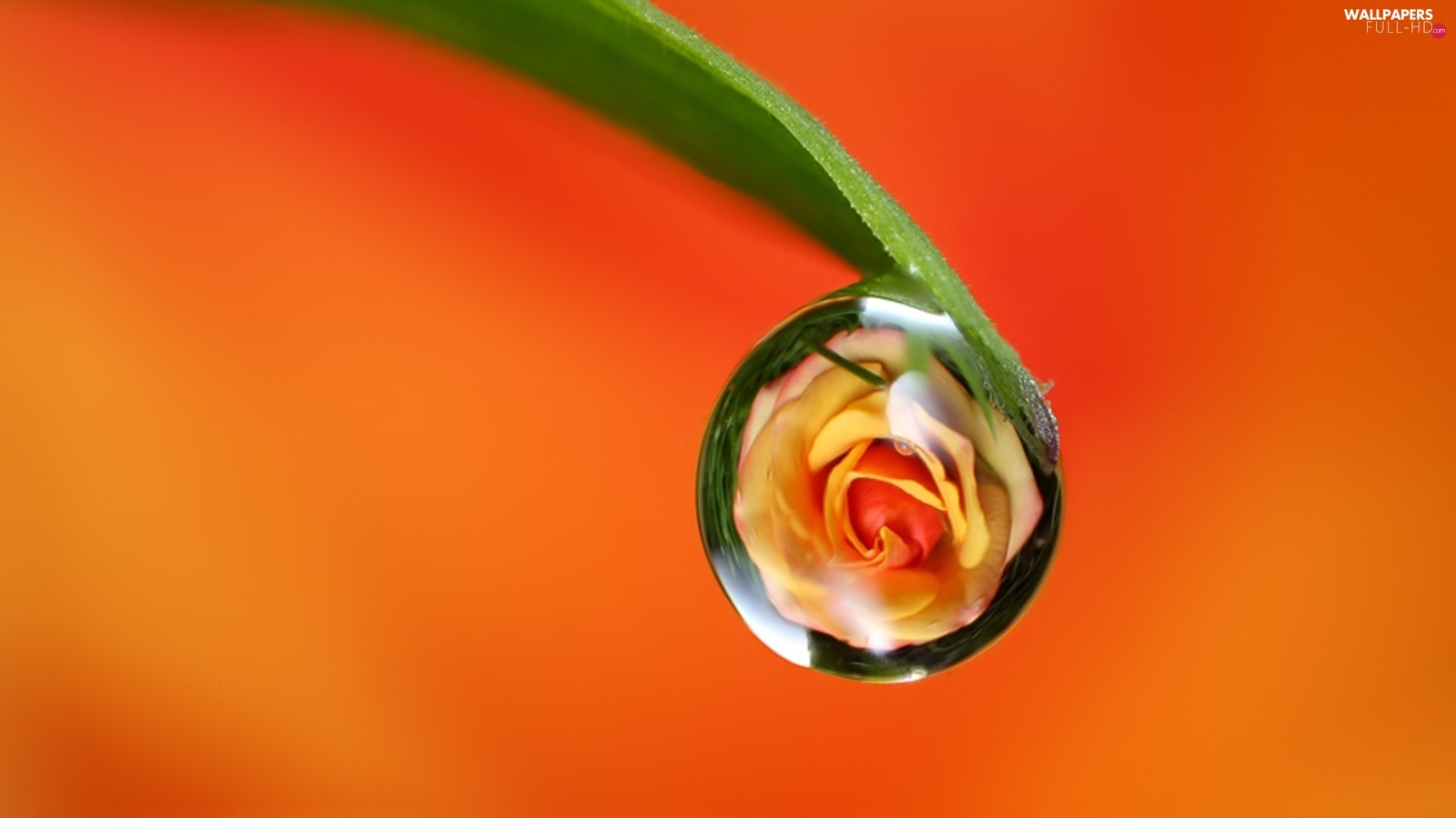 rose, Rosy, leaf, droplet