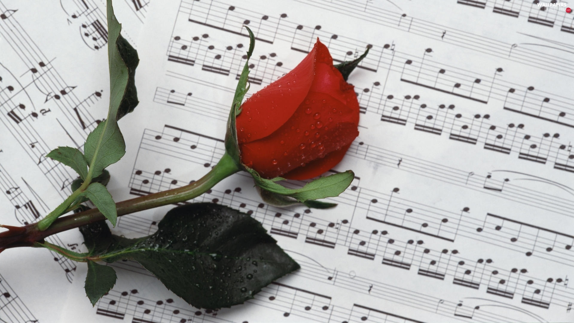 rose, Tunes, red hot
