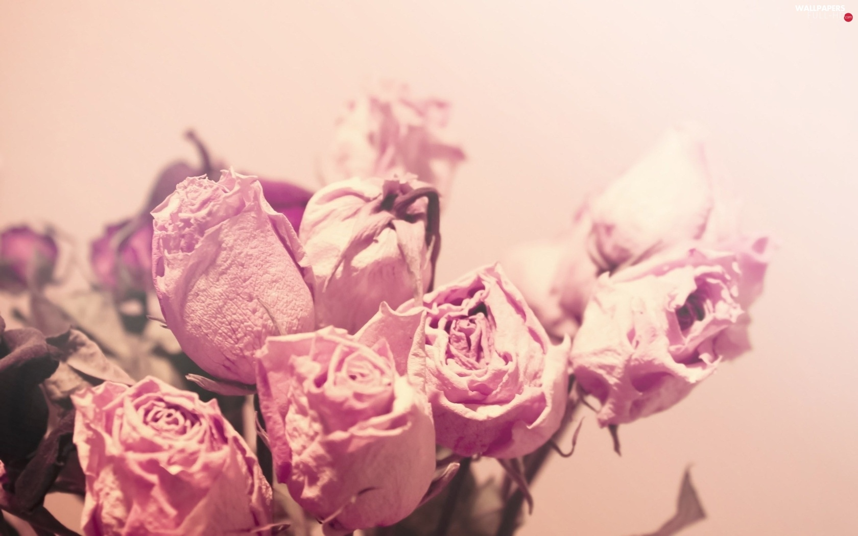 roses, Pink