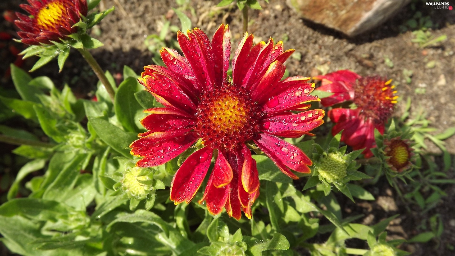 Rosy, drops, Colourfull Flowers, gaillardia aristata