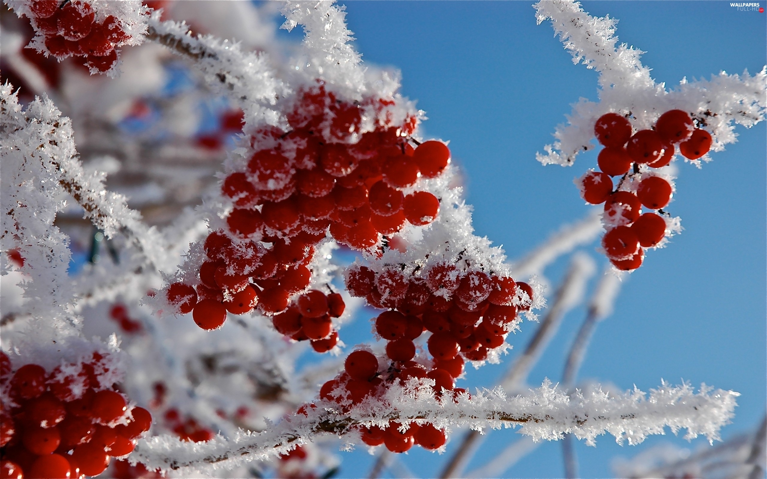 Fruits, rowan, frosty