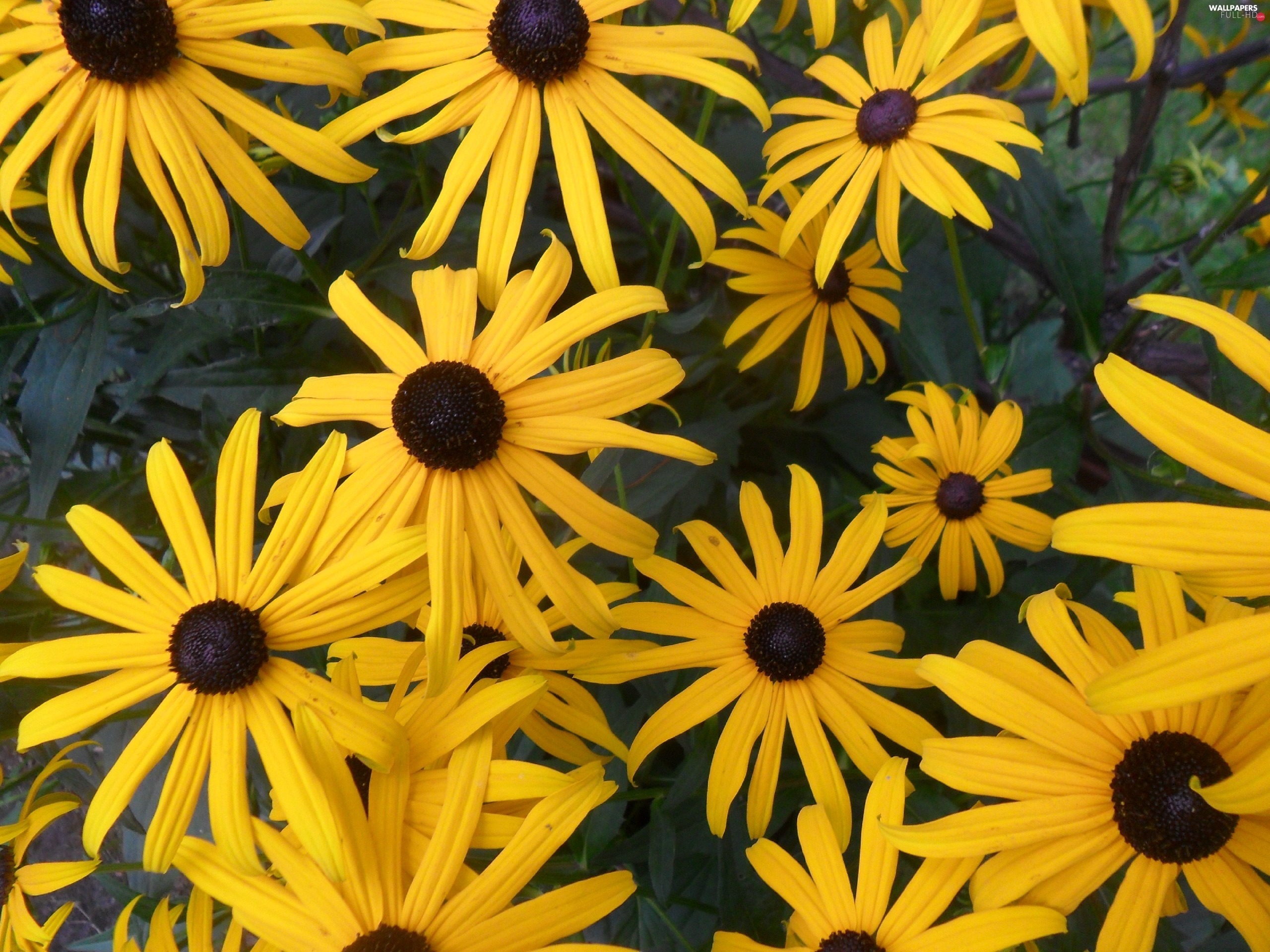 Flowers, Rudbeckia, Yellow