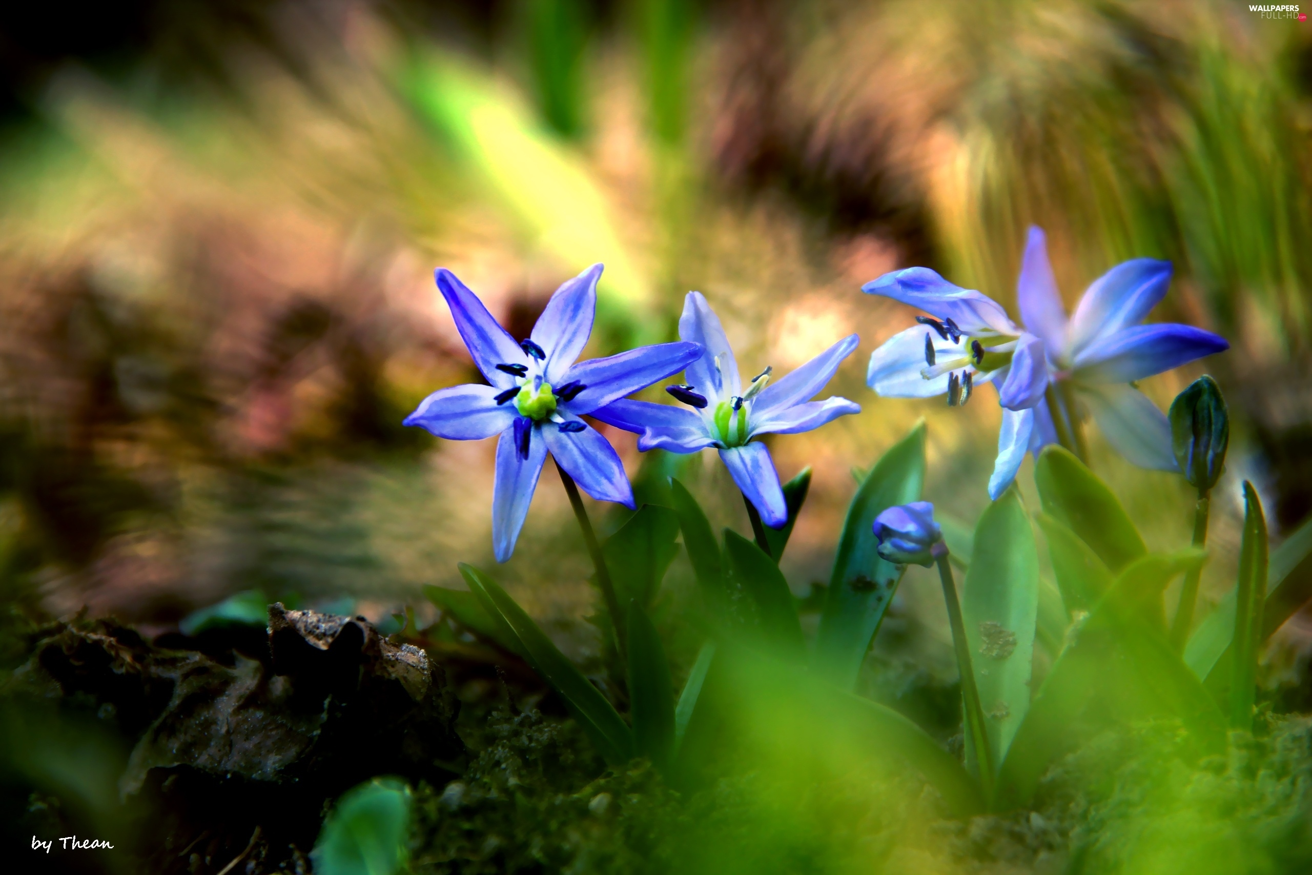Flowers, Siberian squill