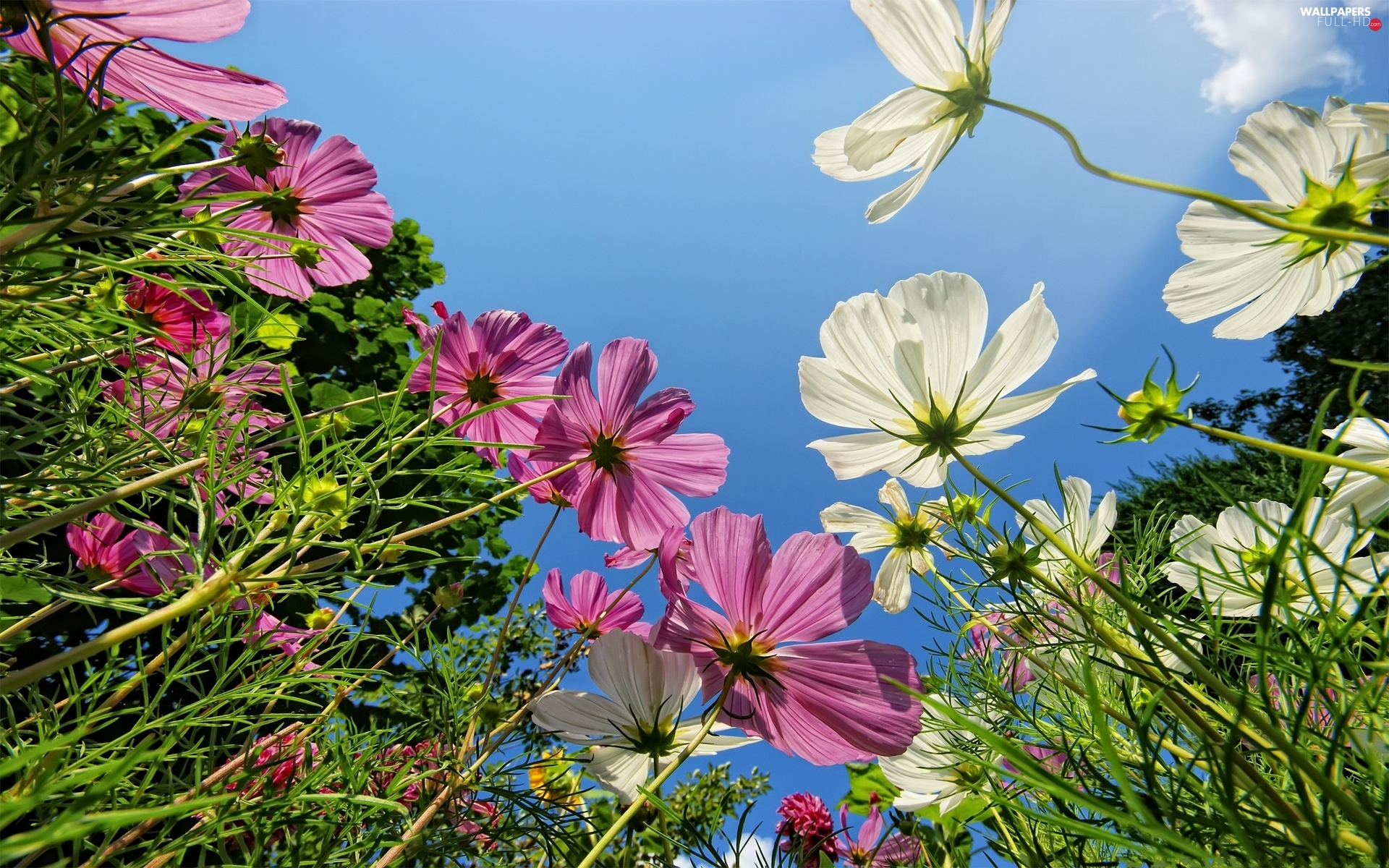 Flowers, Cosmos, color