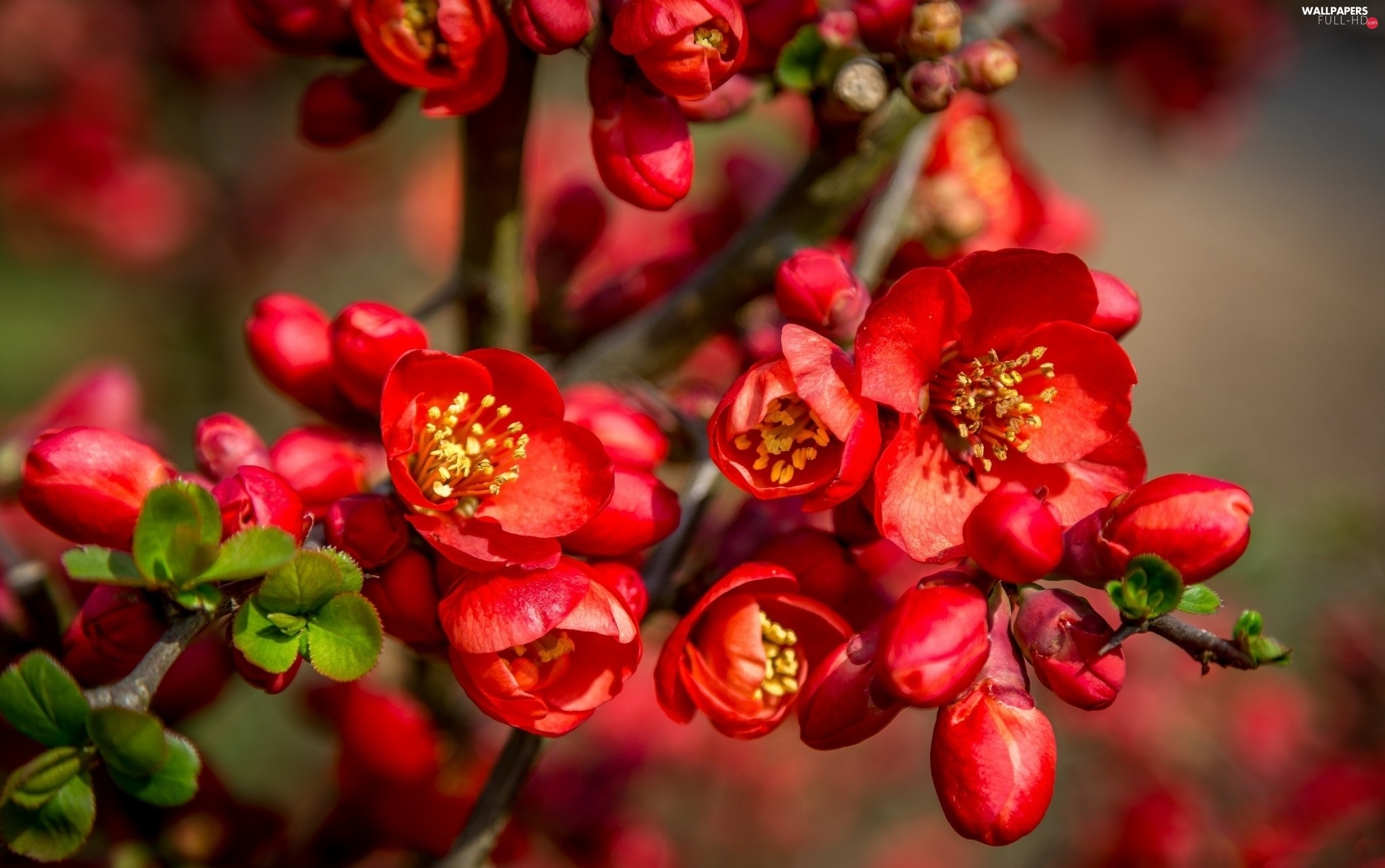 quinces, Spring, Flowers