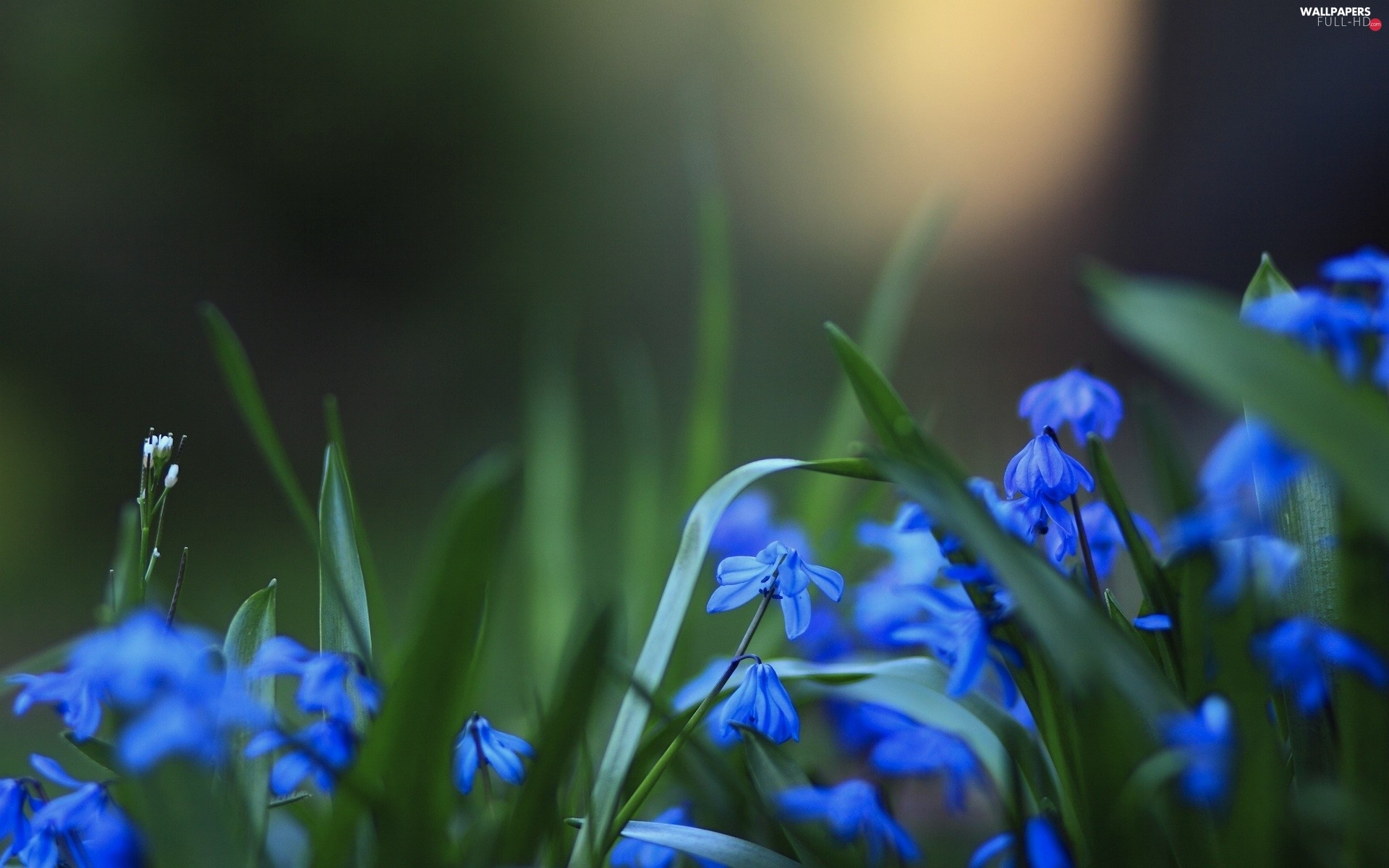 Flowers, squill, Blue