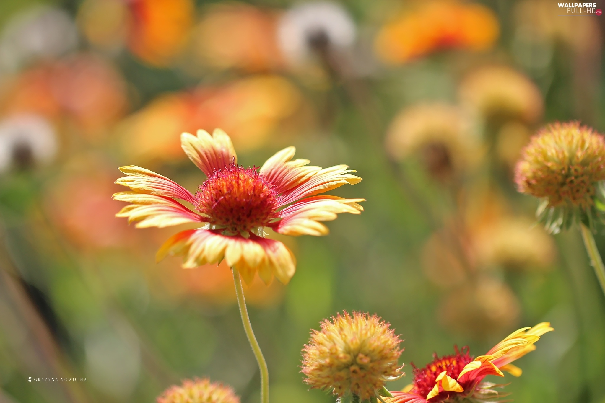 summer, gaillardia aristata, Flower