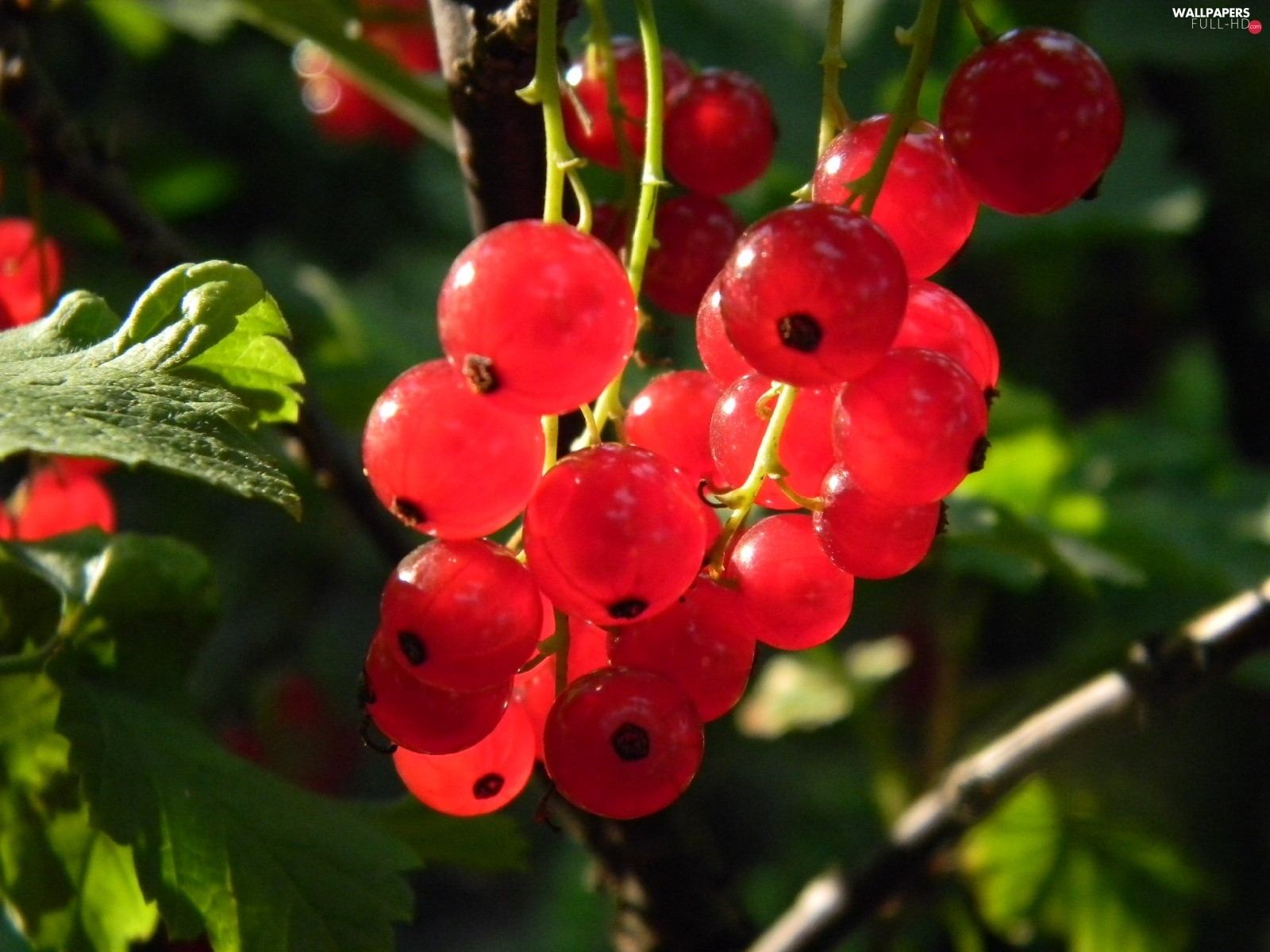currants, sun, Red