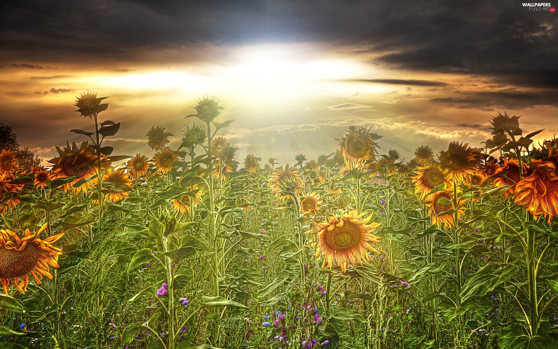 sun, west, Field, sunflowers