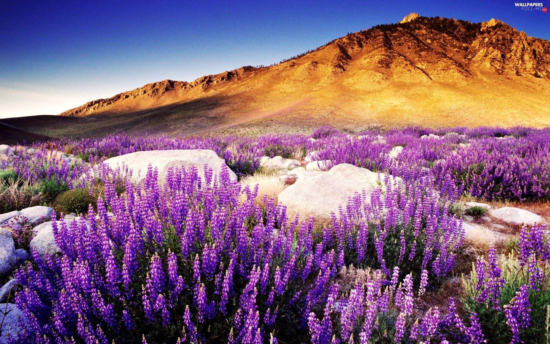 flower, The Hills, boulders, west, lupine, sun