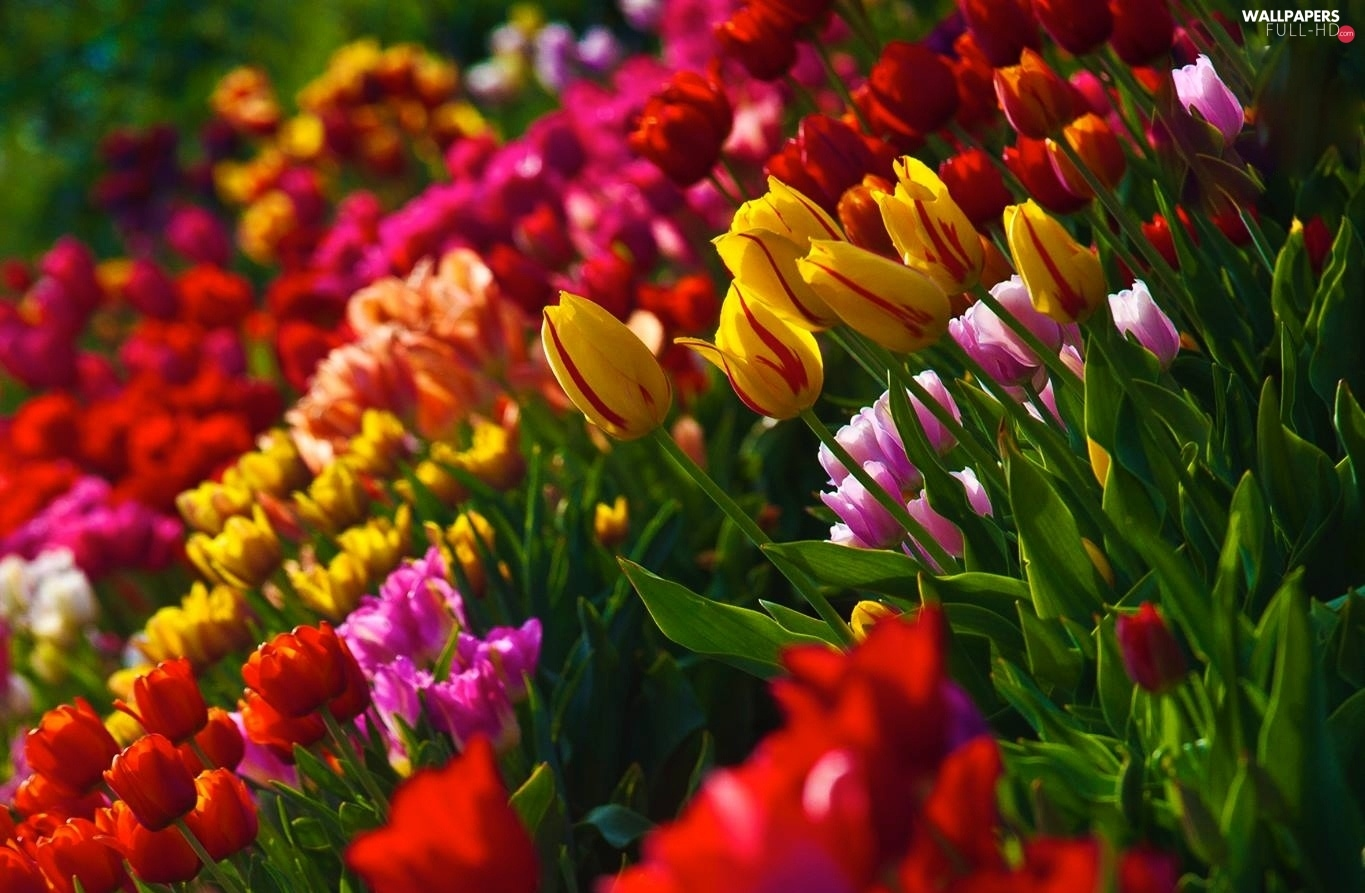 Tulips, color
